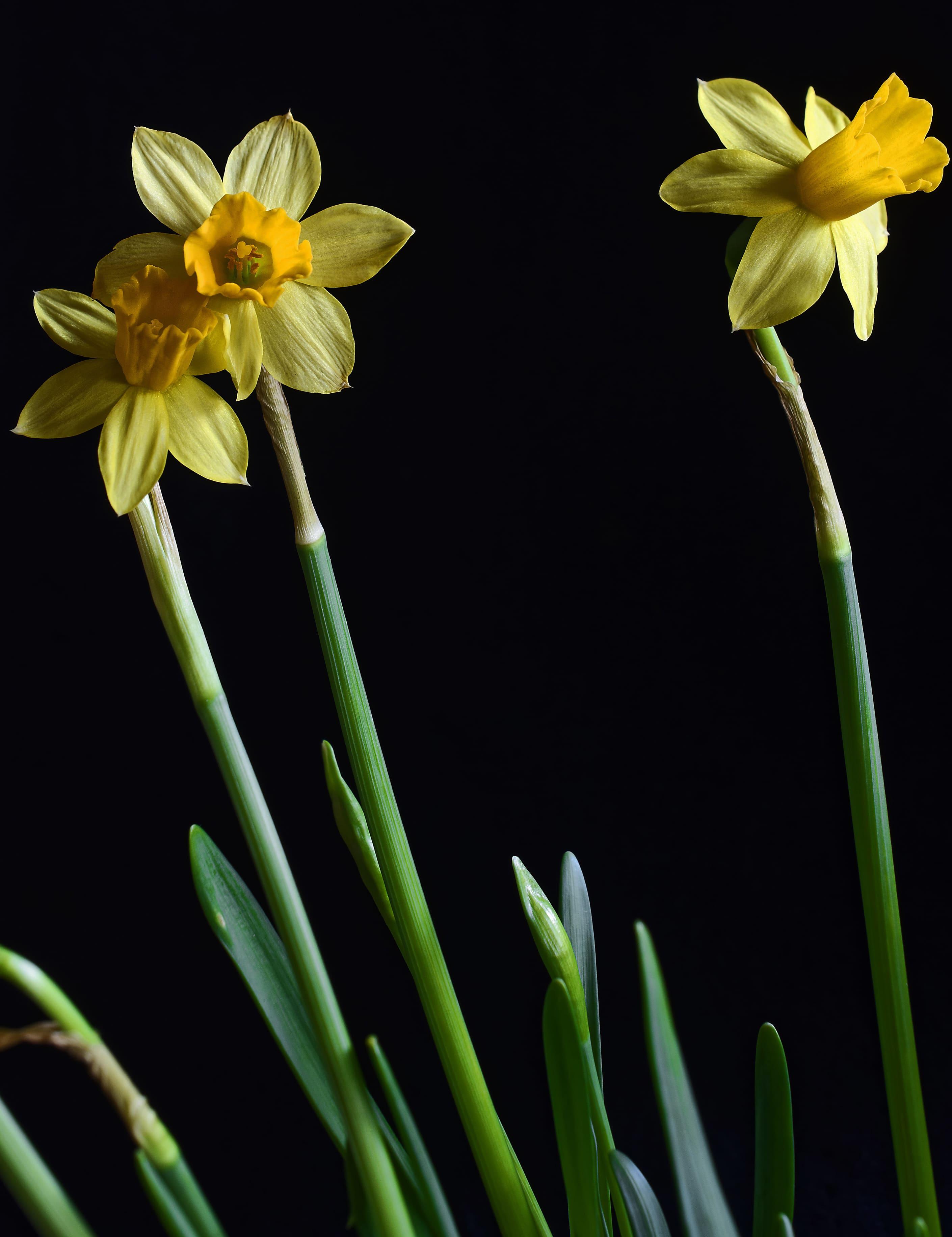 daffodils-photo-40