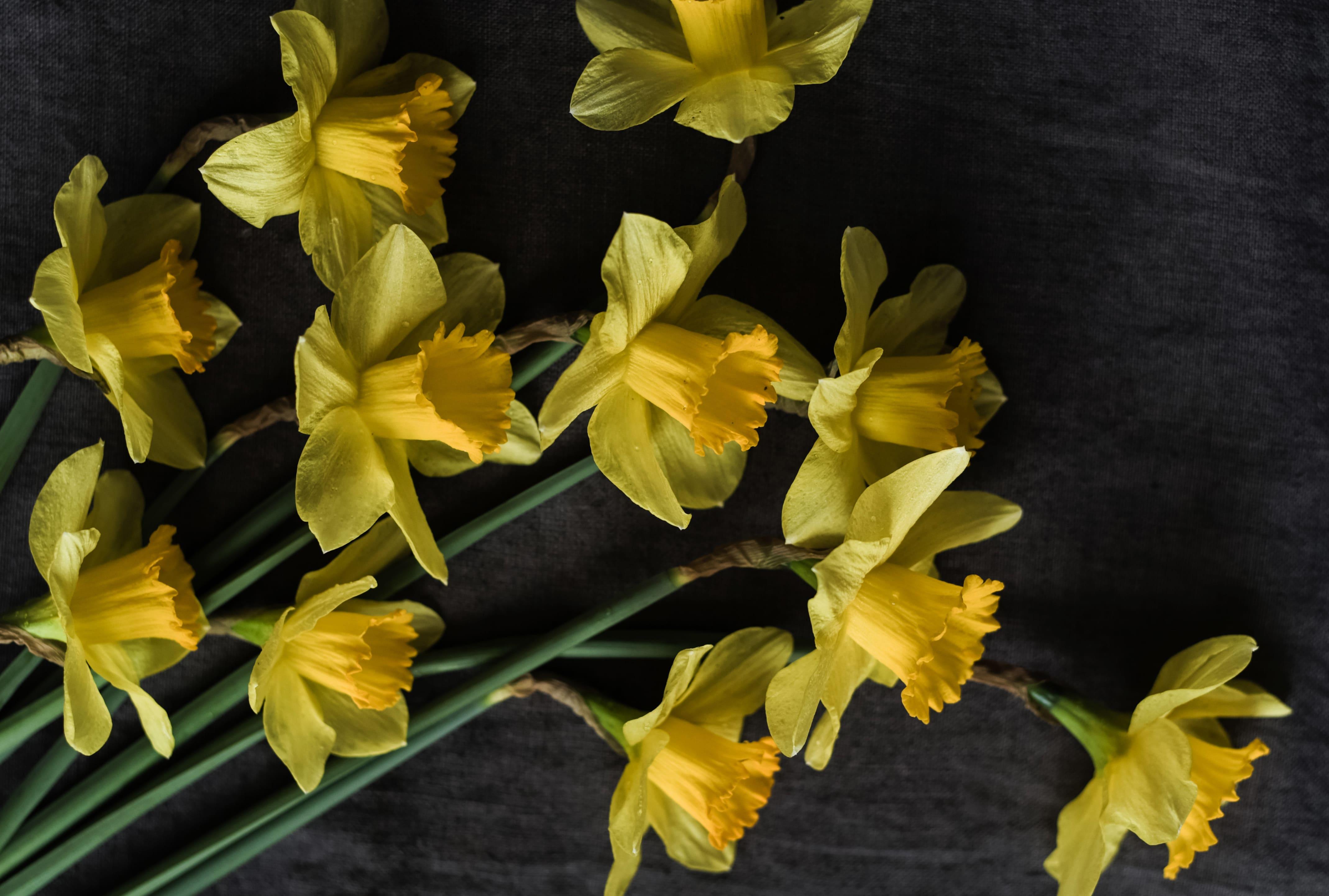 daffodils-photo-41