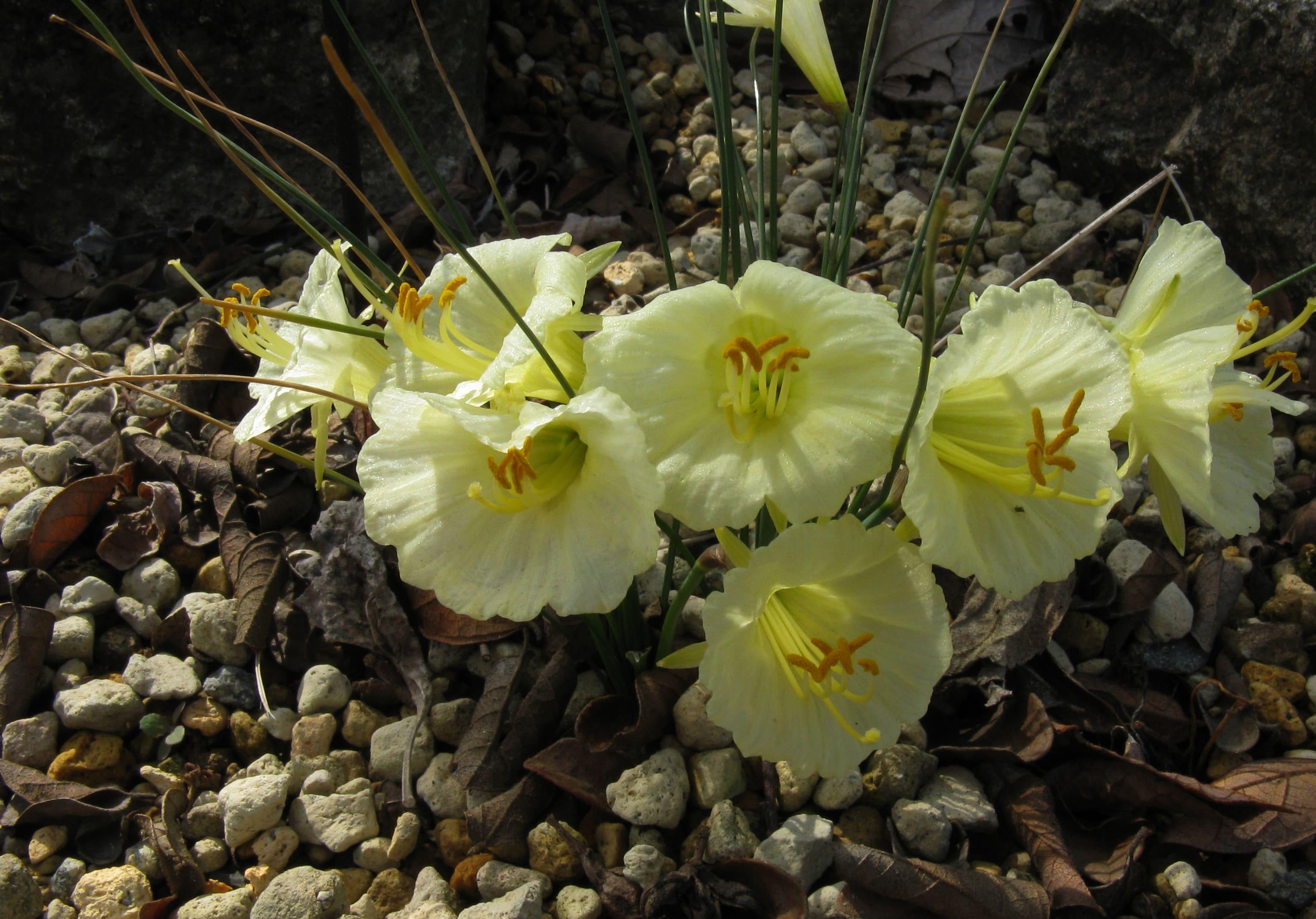 daffodils-photo-42