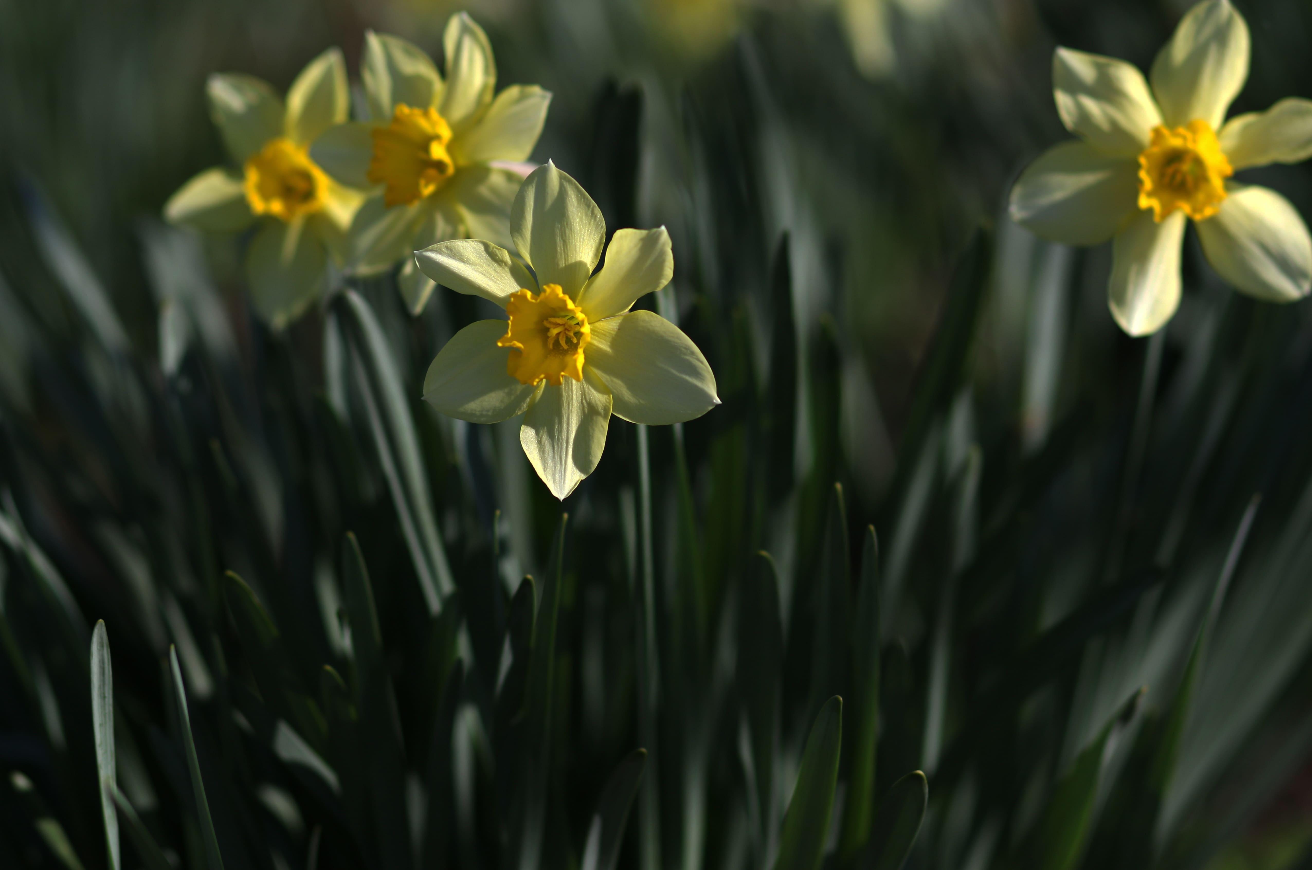 daffodils-photo-43