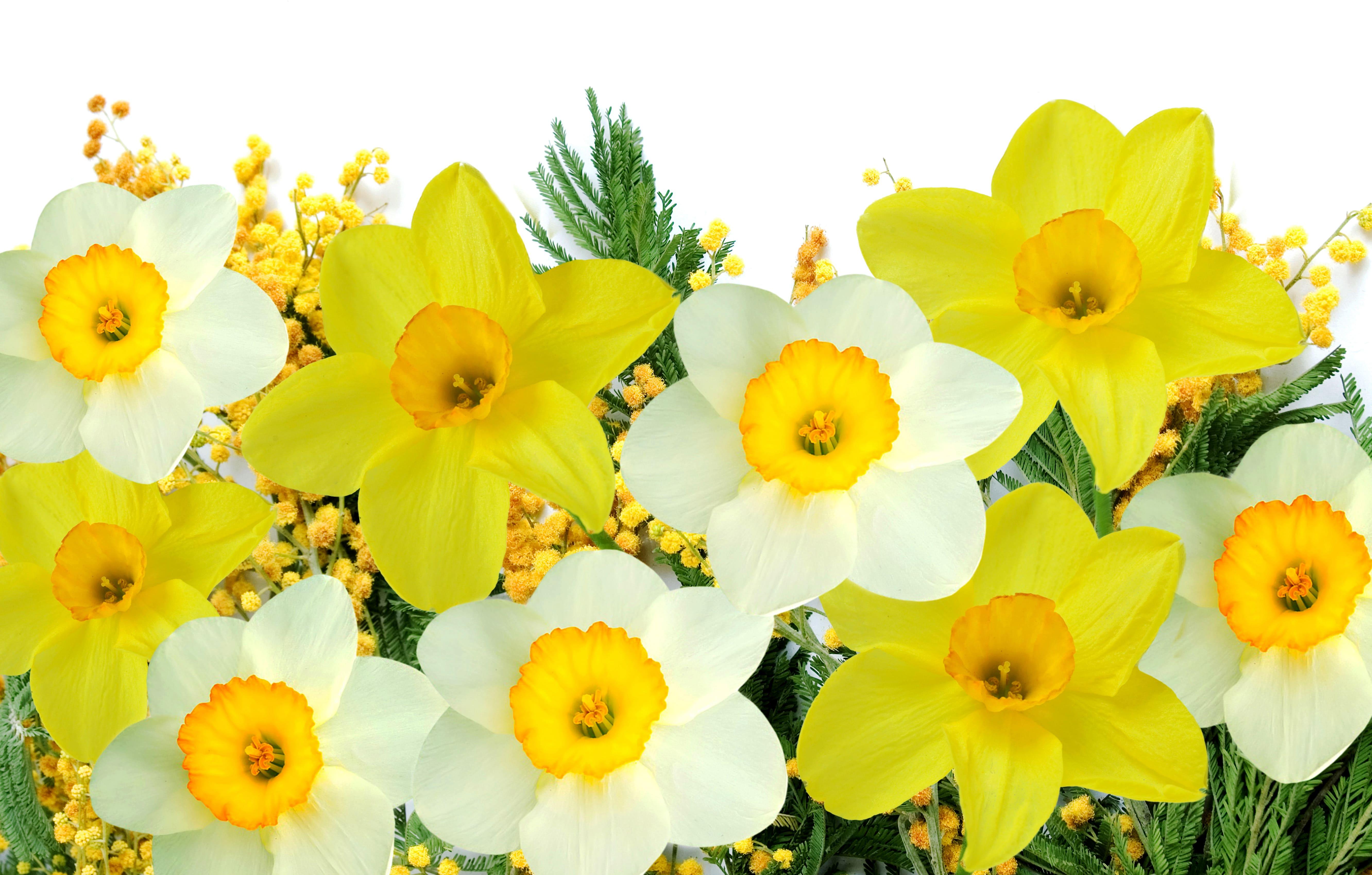daffodils-photo-45