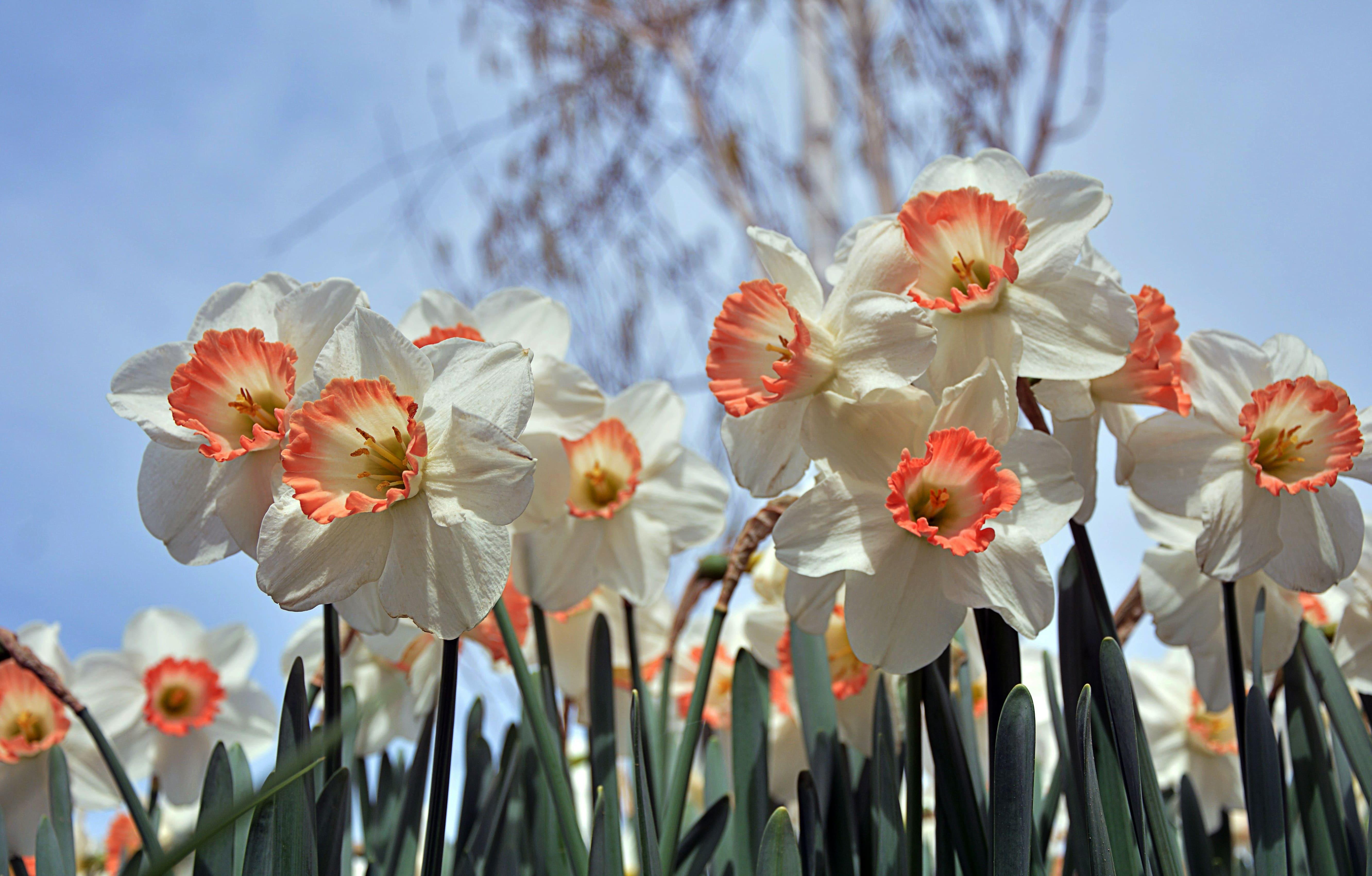 daffodils-photo-46