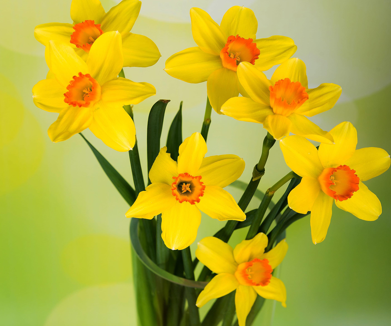 daffodils-photo-49