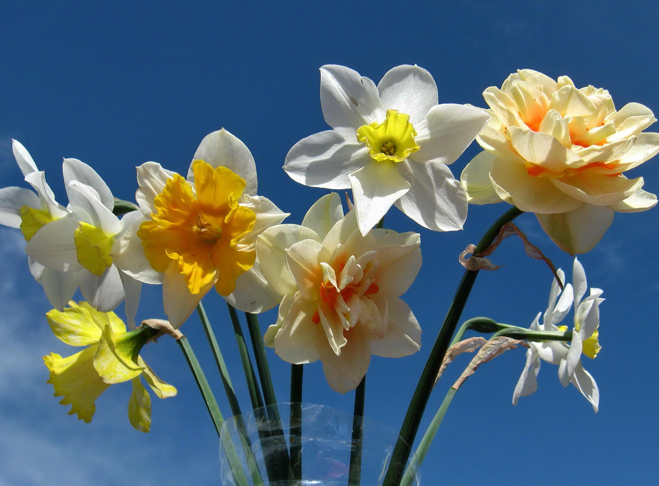 daffodils-photo-5
