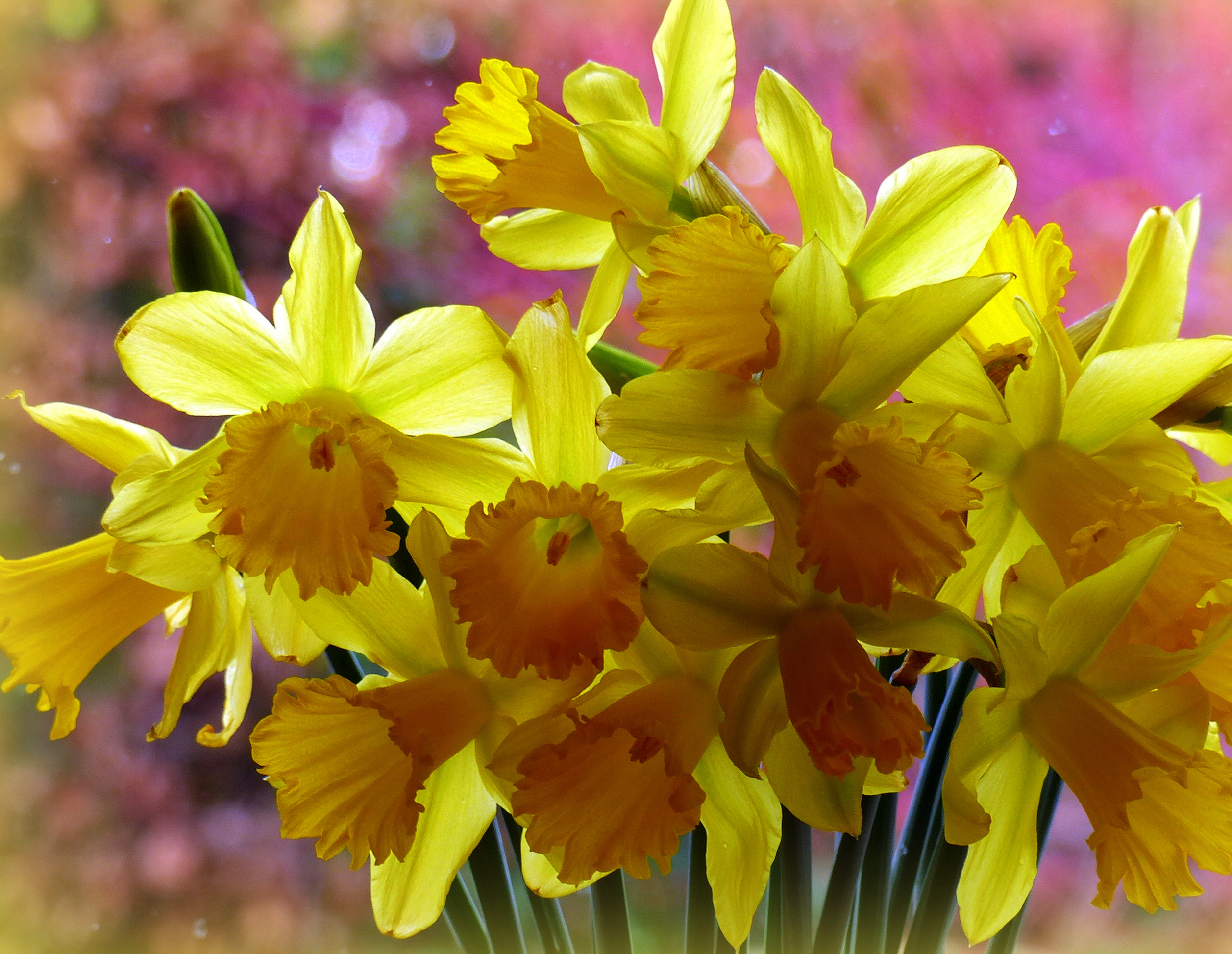 daffodils-photo-50
