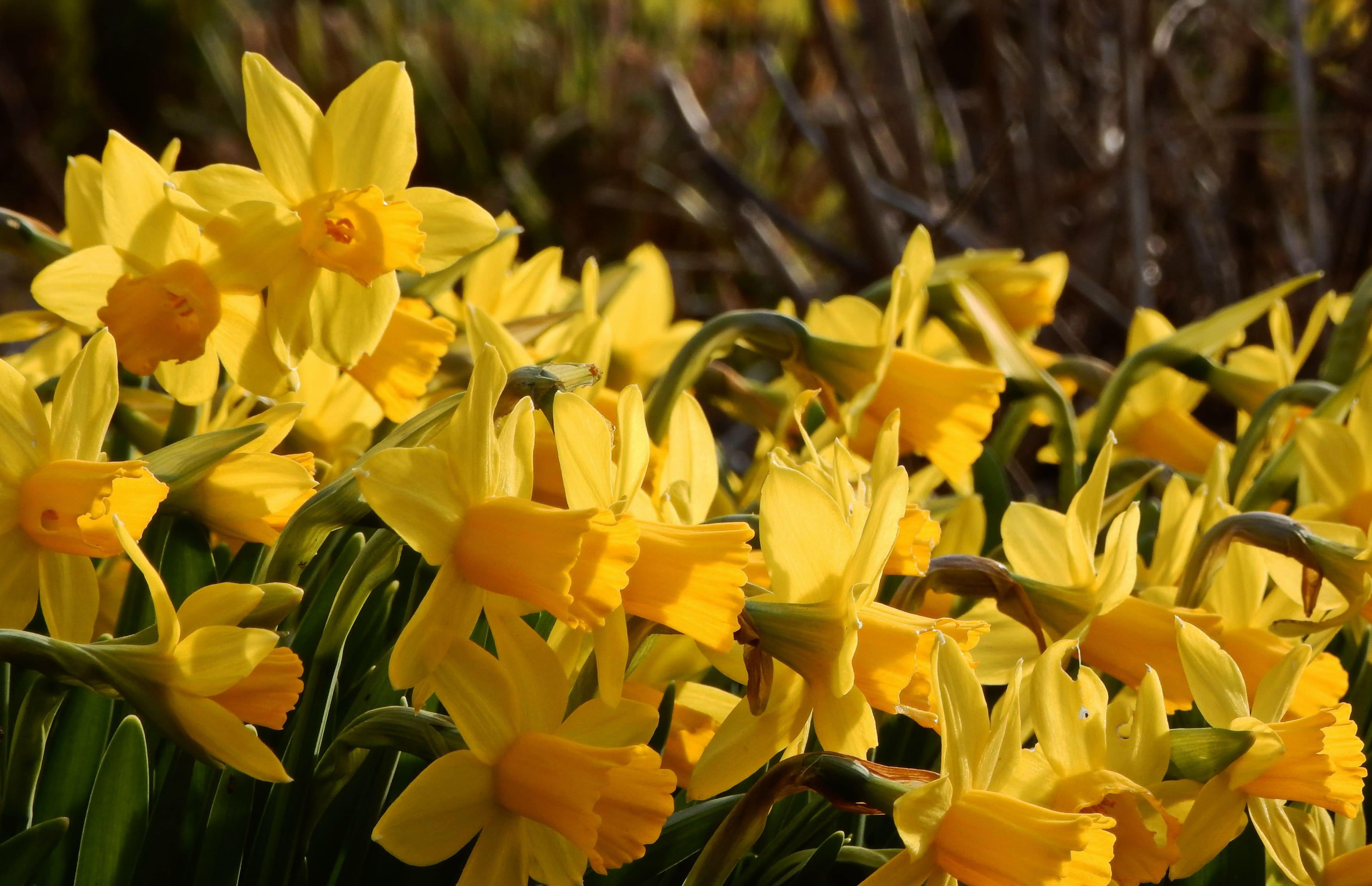 daffodils-photo-51