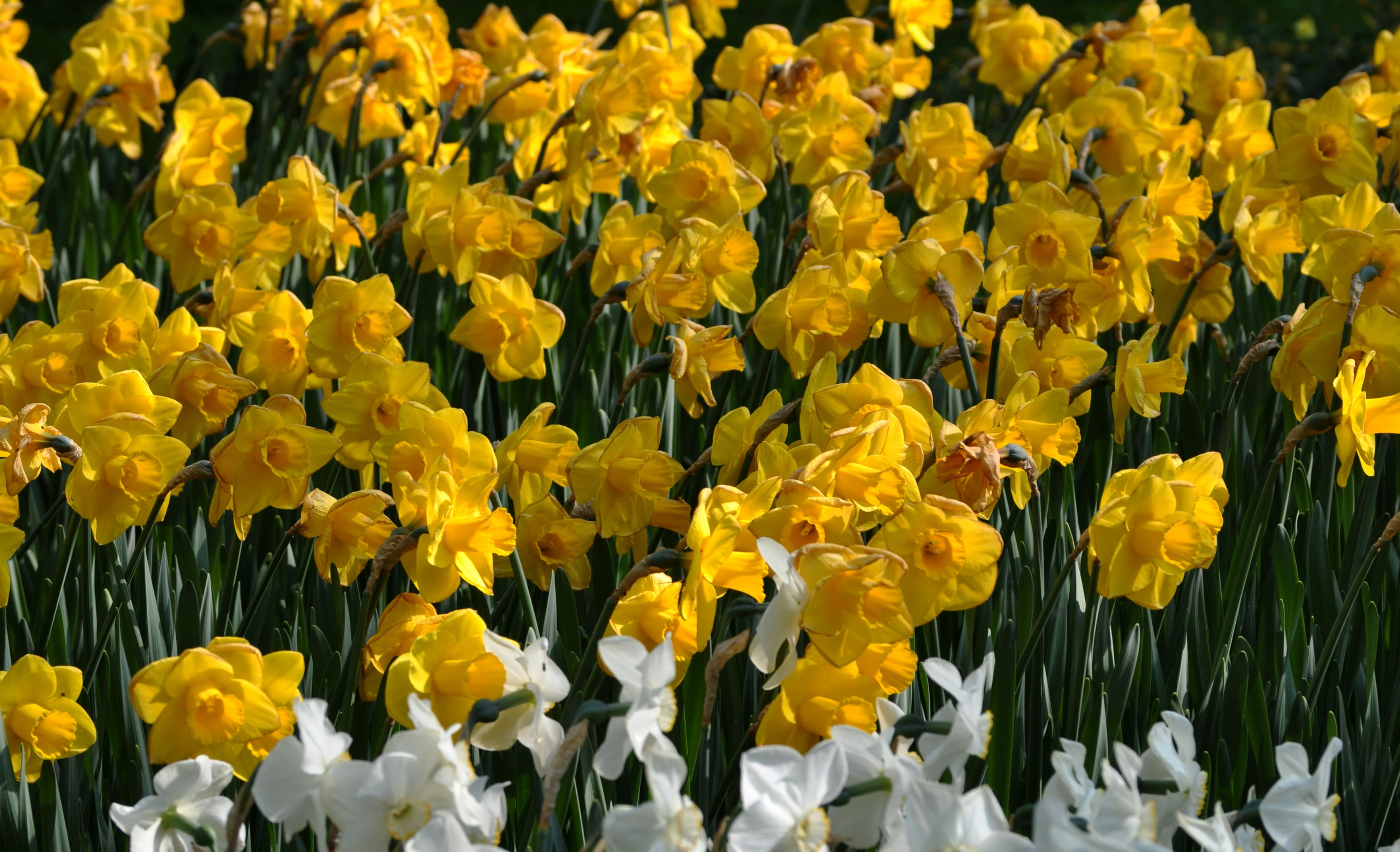 daffodils-photo-53