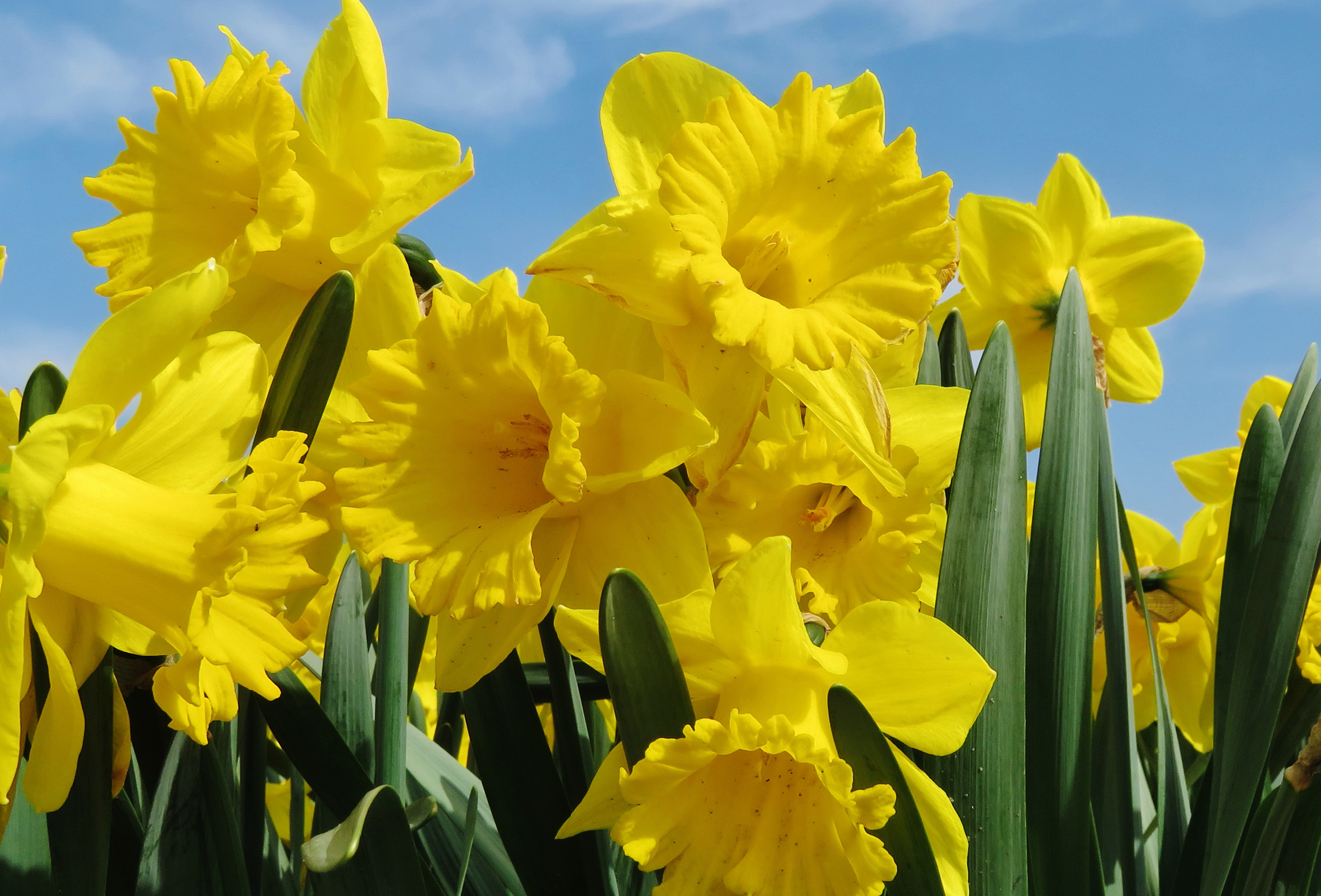 daffodils-photo-54