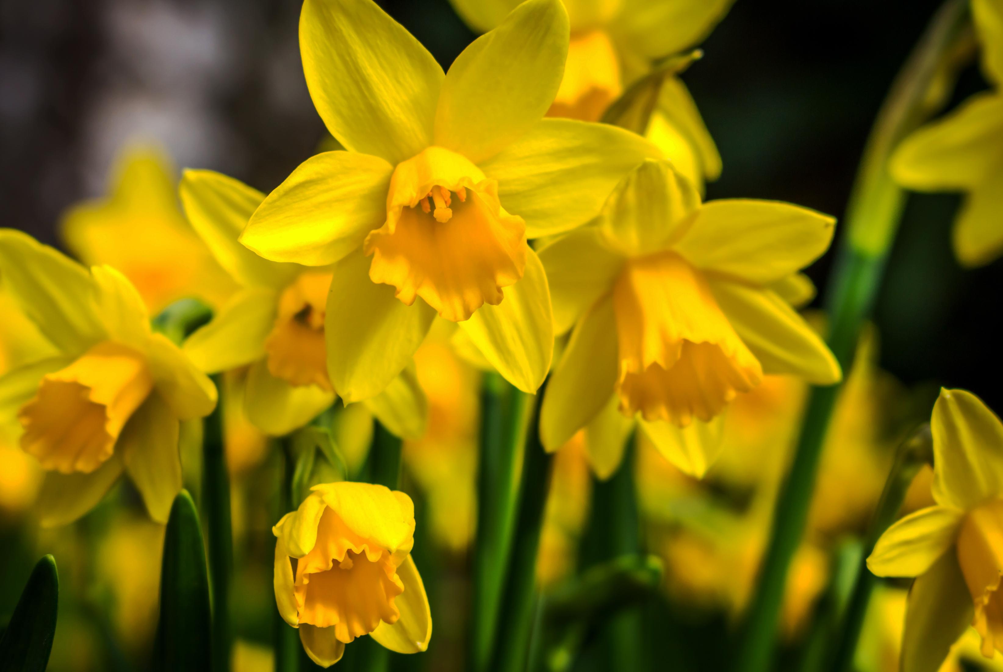 daffodils-photo-55
