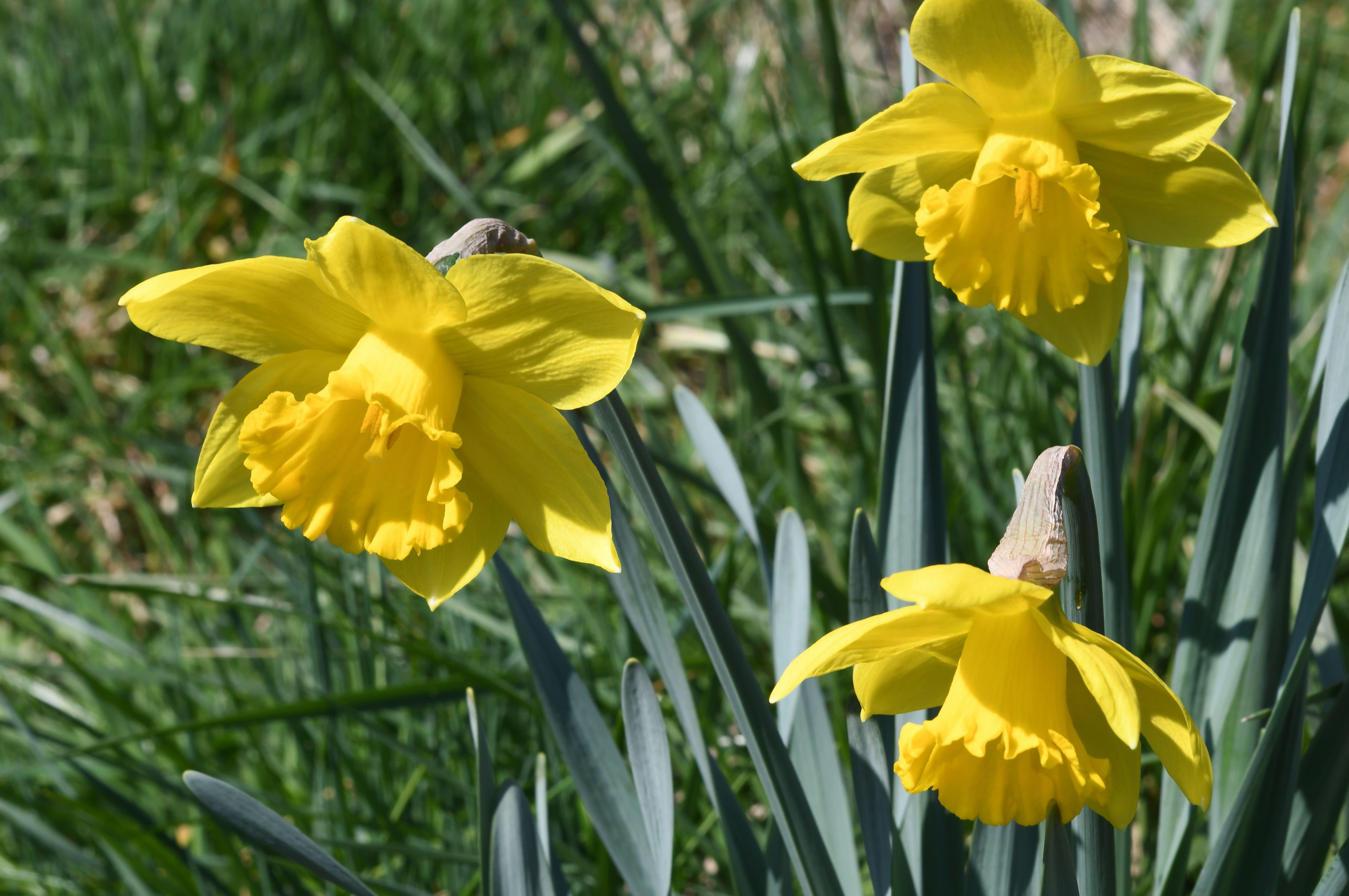 daffodils-photo-56
