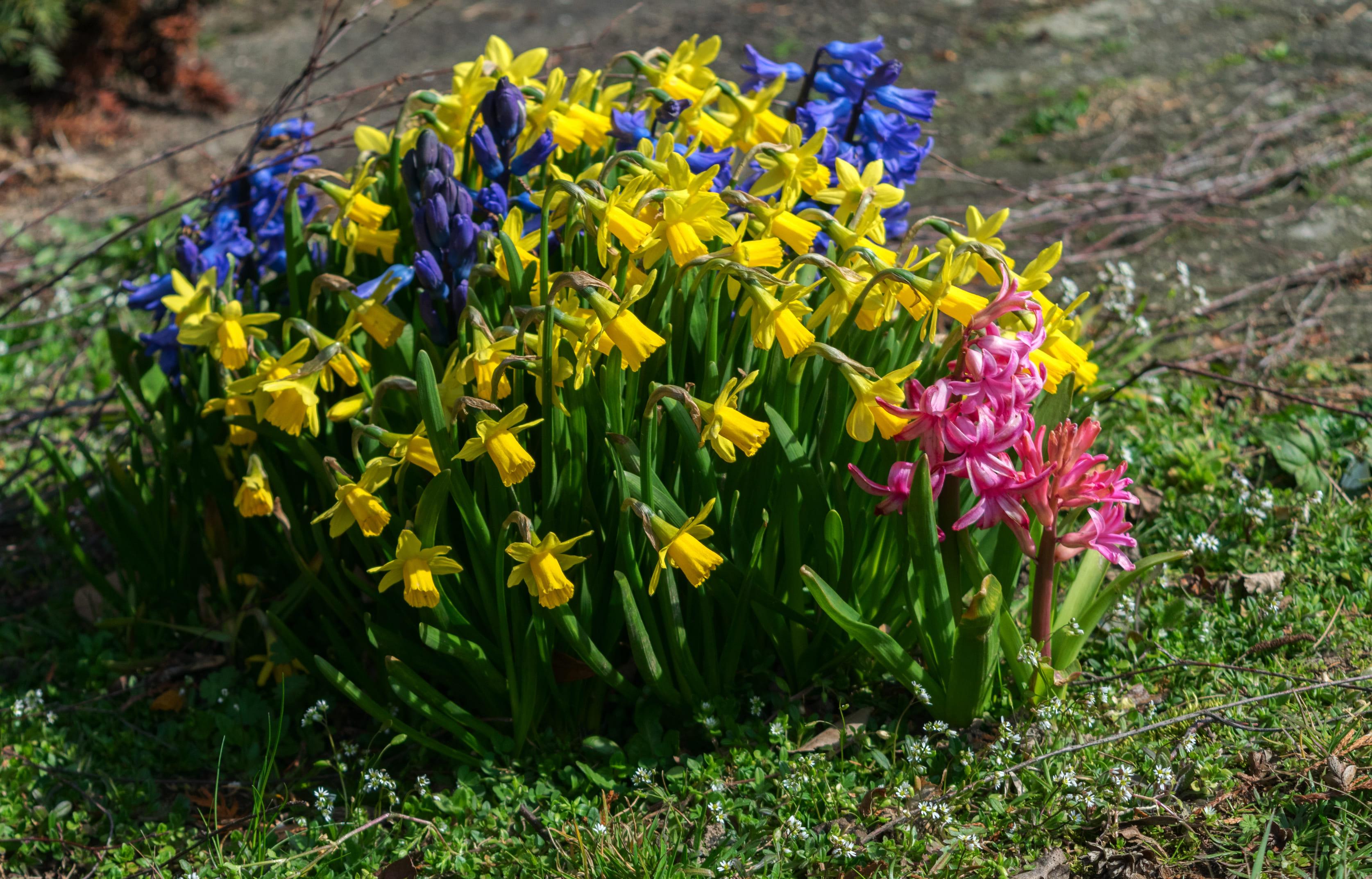 daffodils-photo-57