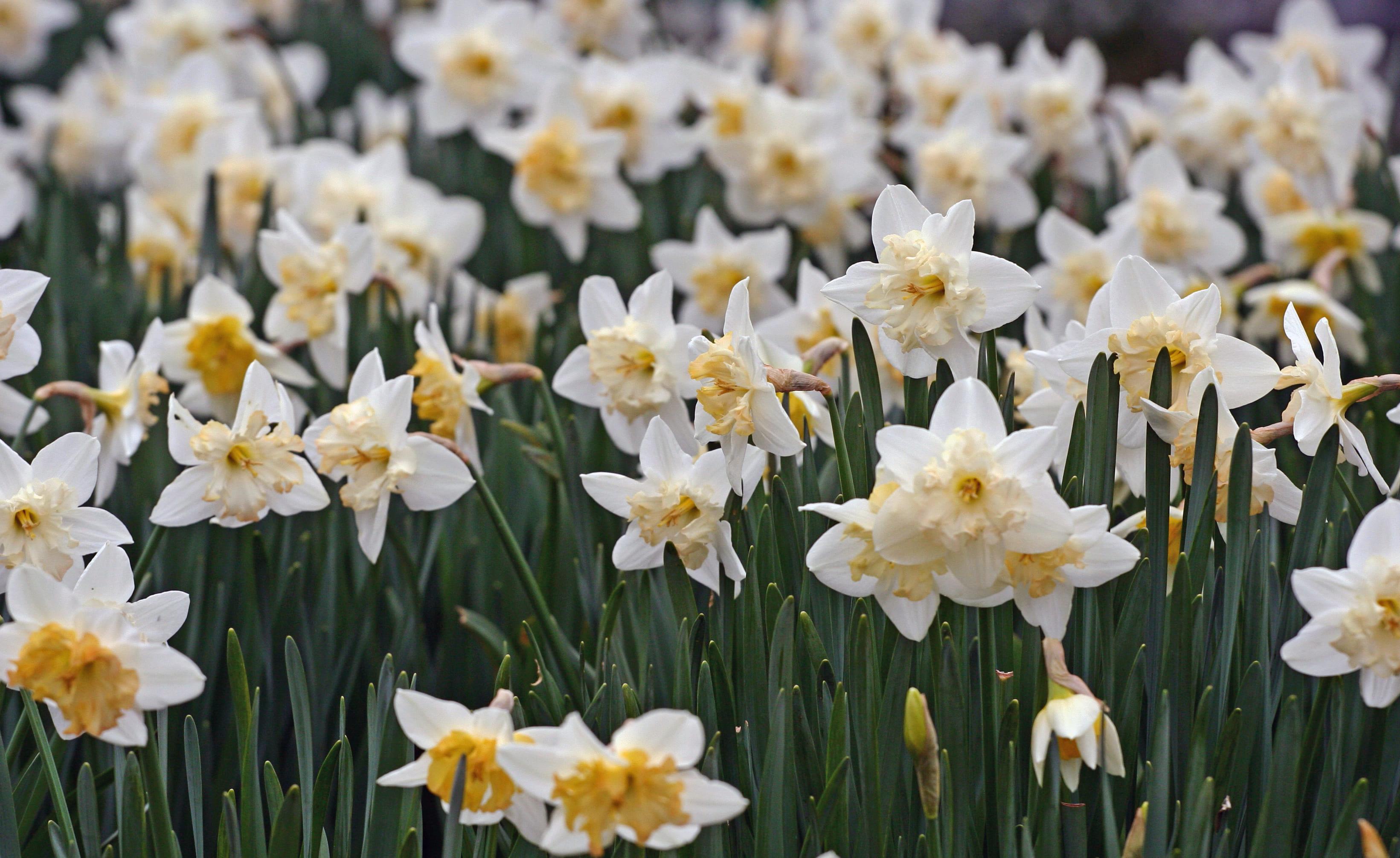 daffodils-photo-58