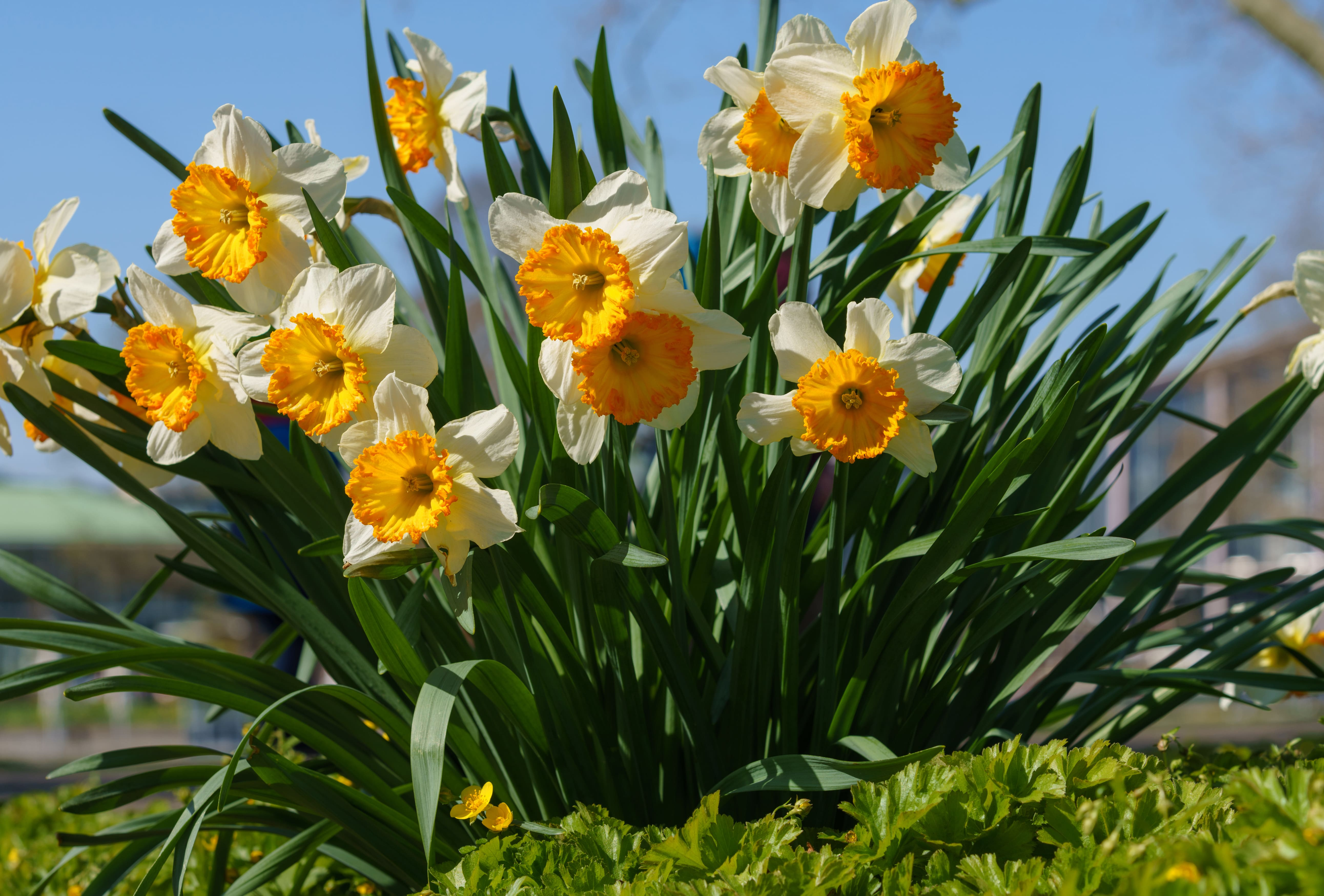 daffodils-photo-60
