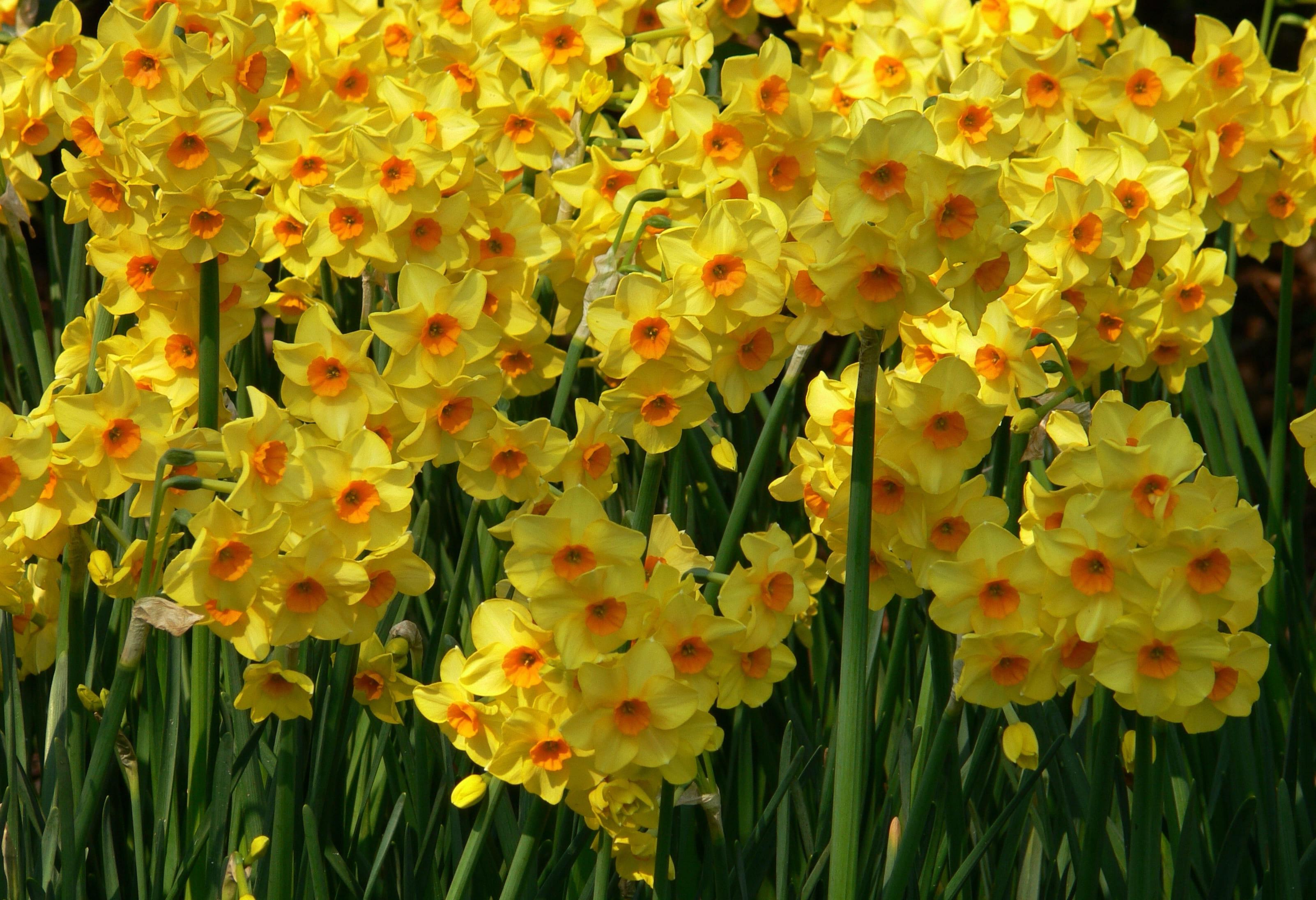 daffodils-photo-61