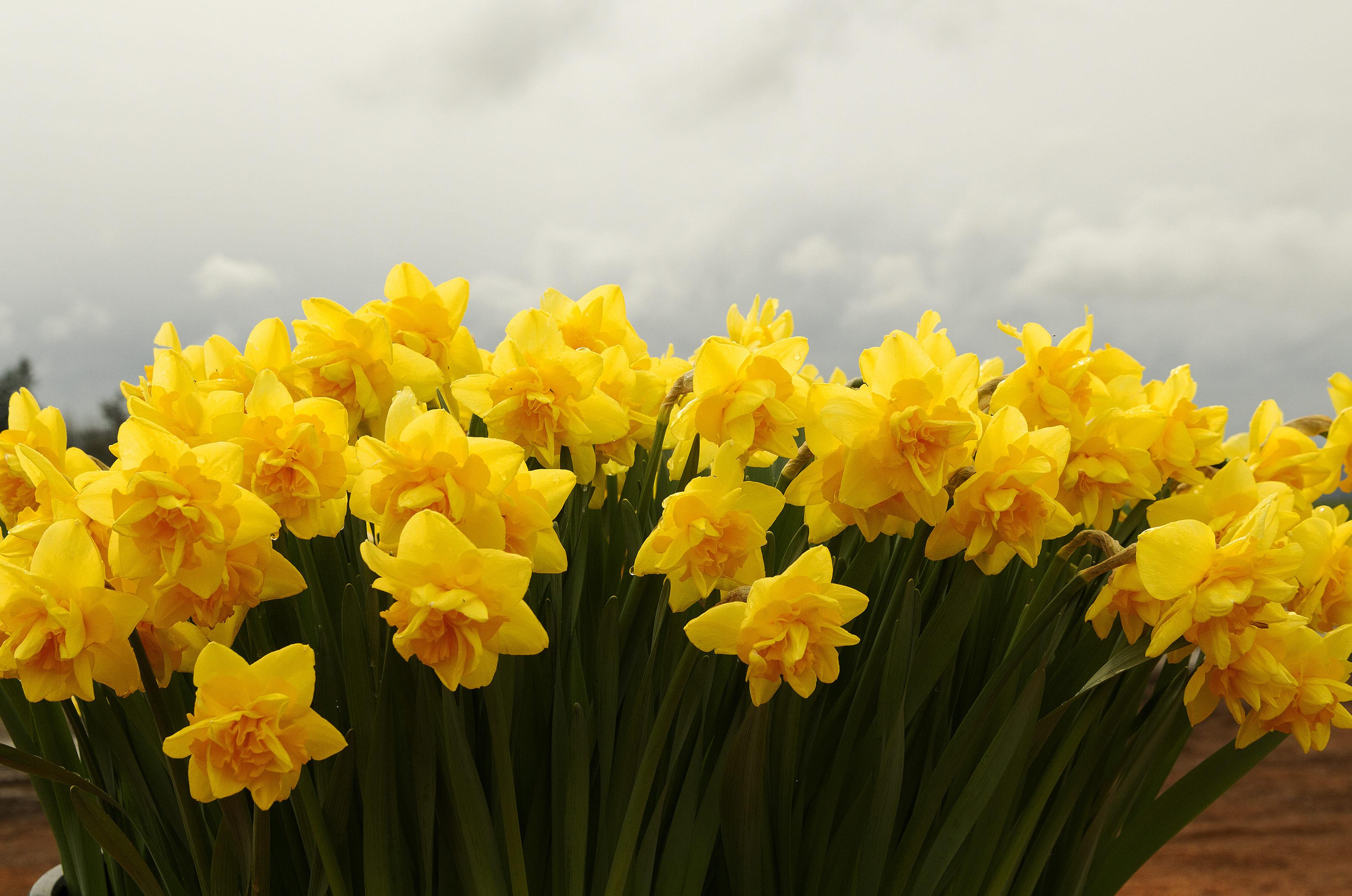 daffodils-photo-62