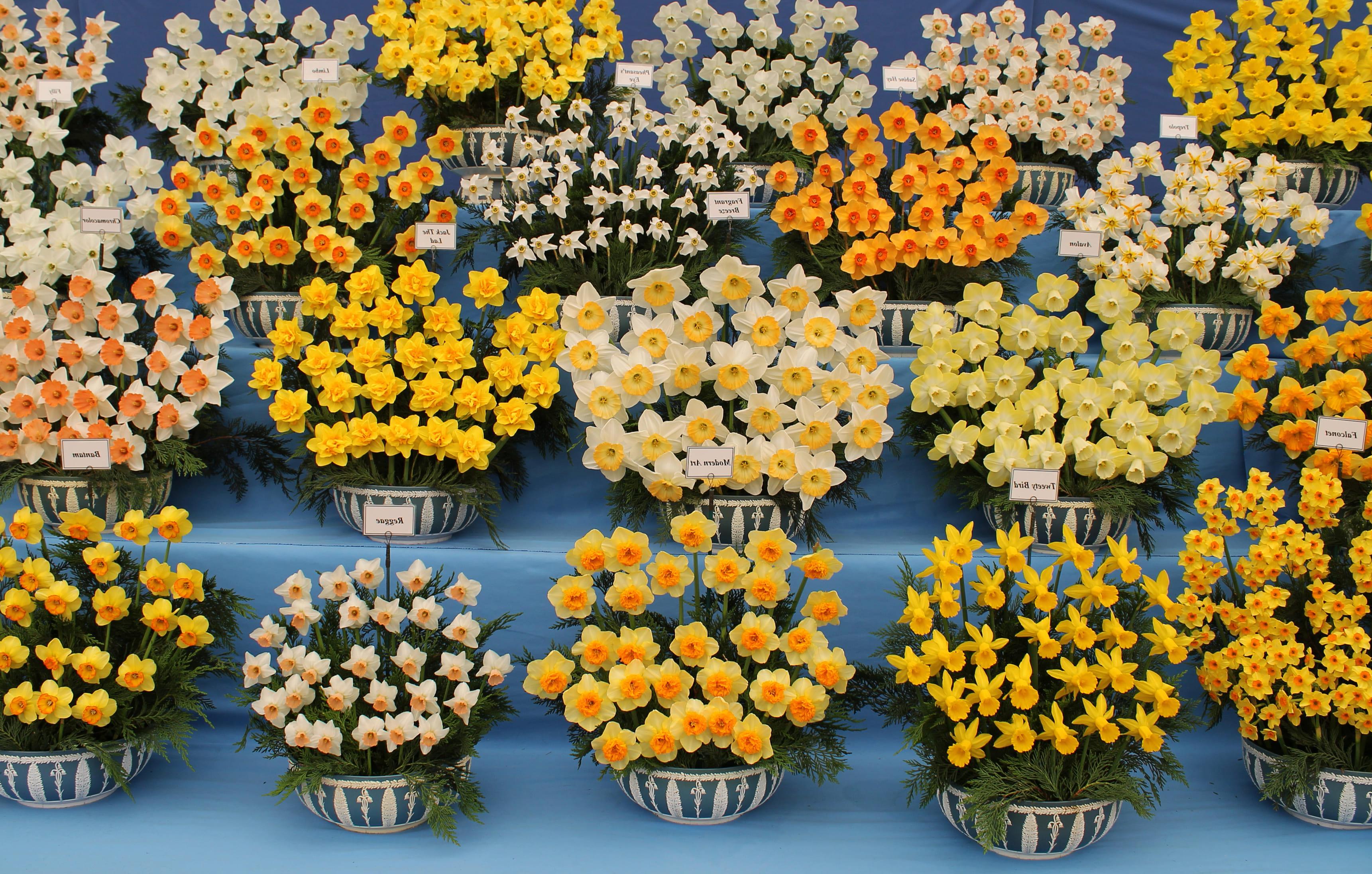 daffodils-photo-63