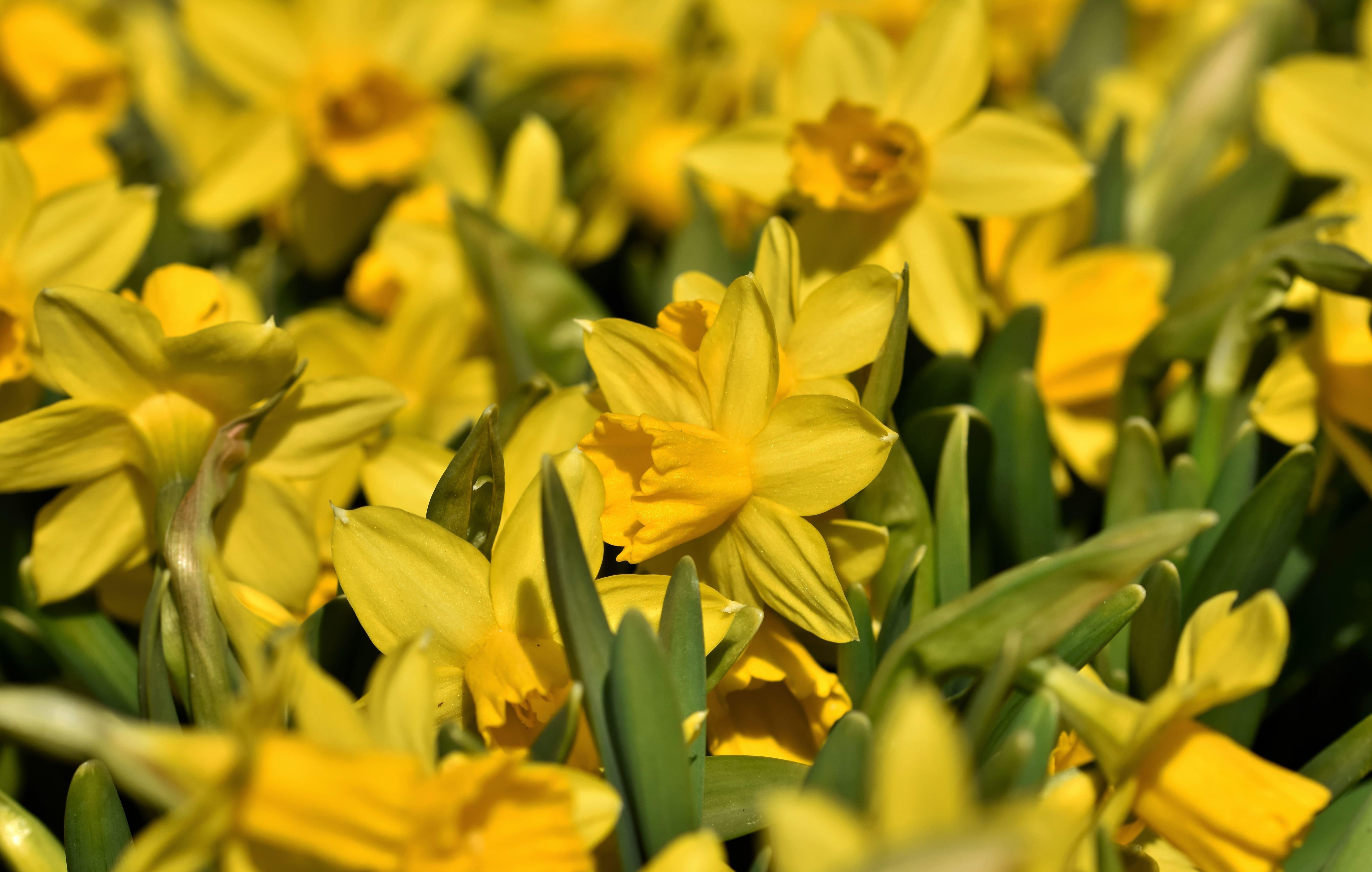 daffodils-photo-64