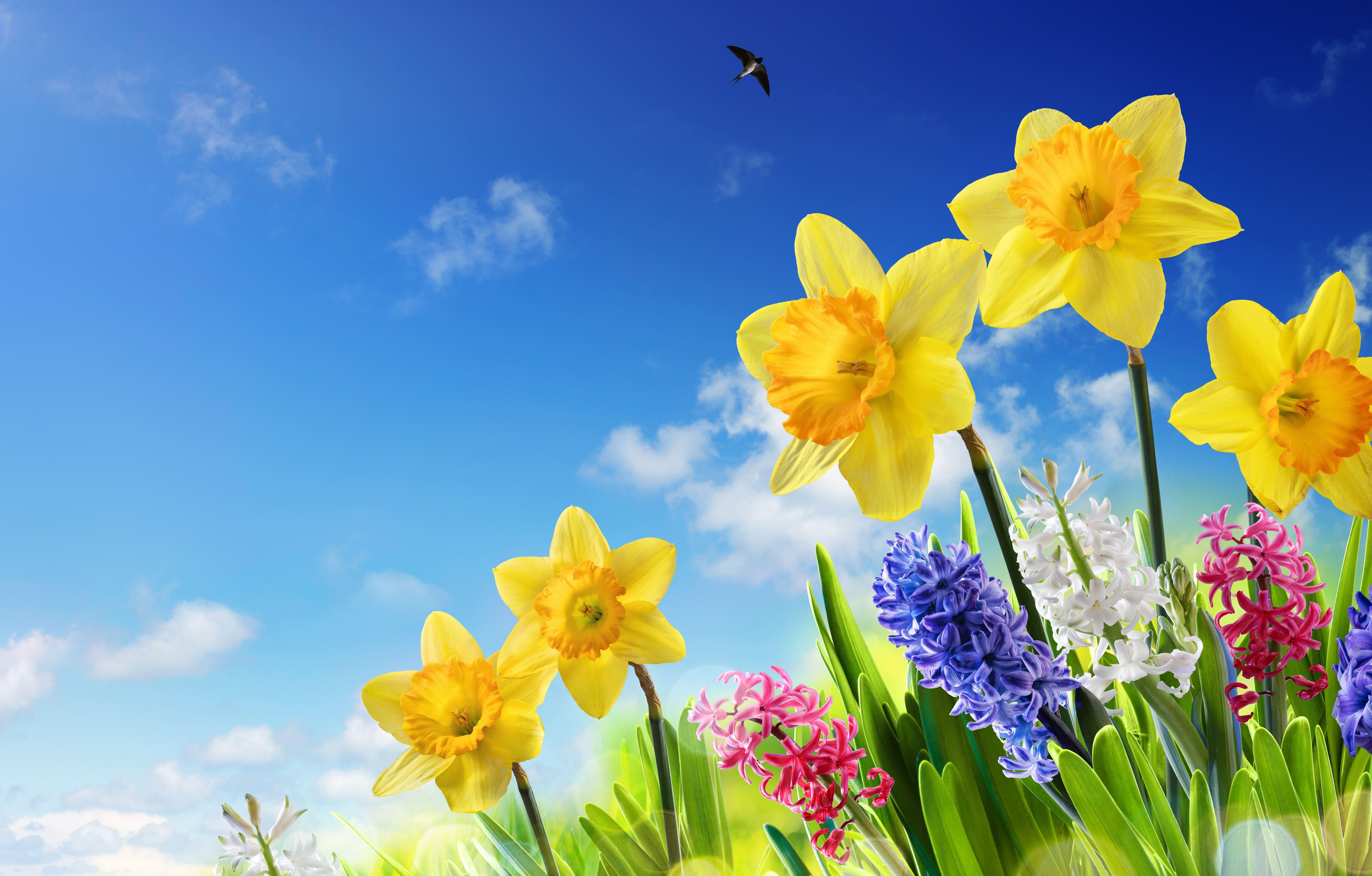 daffodils-photo-67