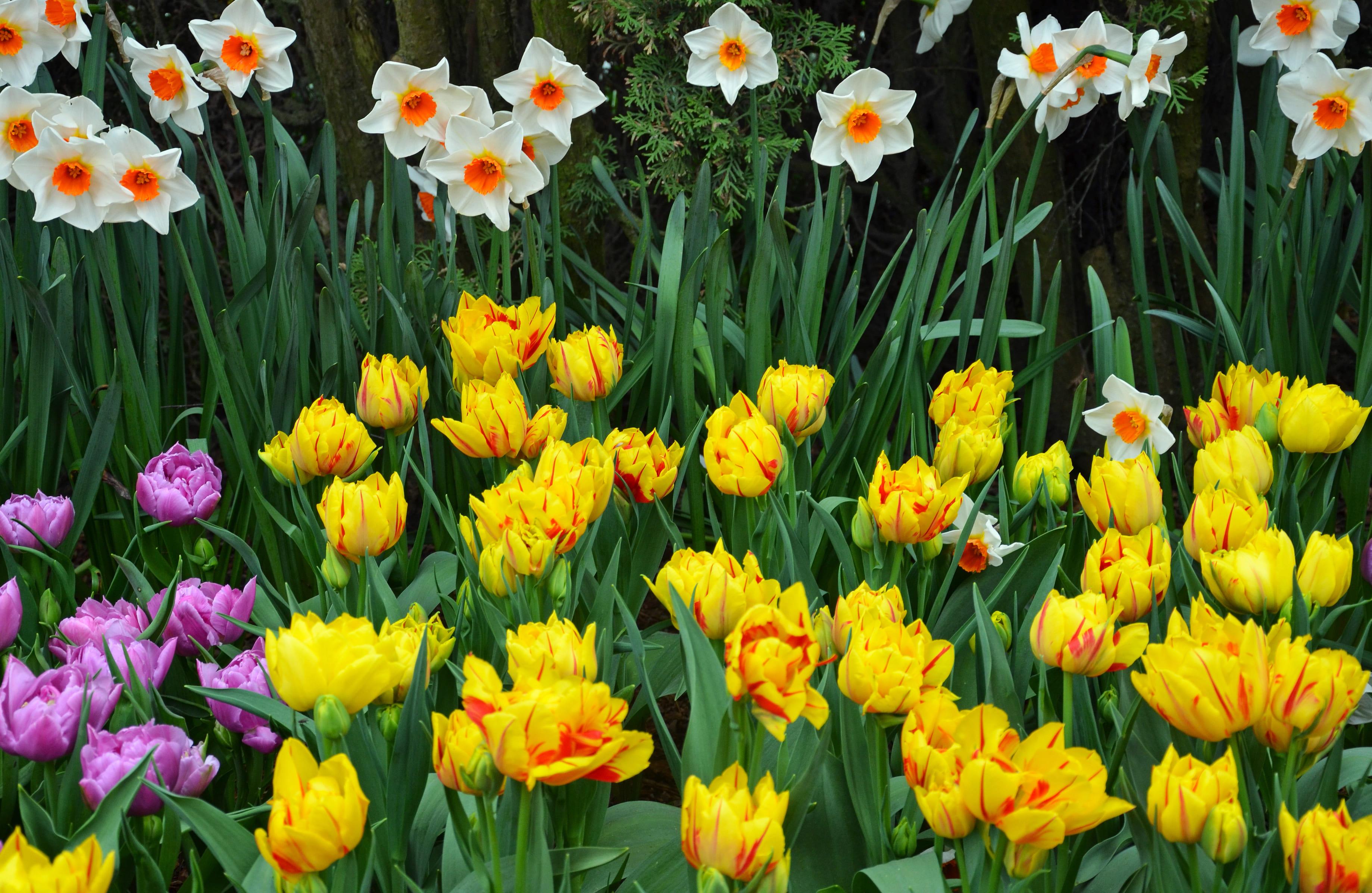 daffodils-photo-69