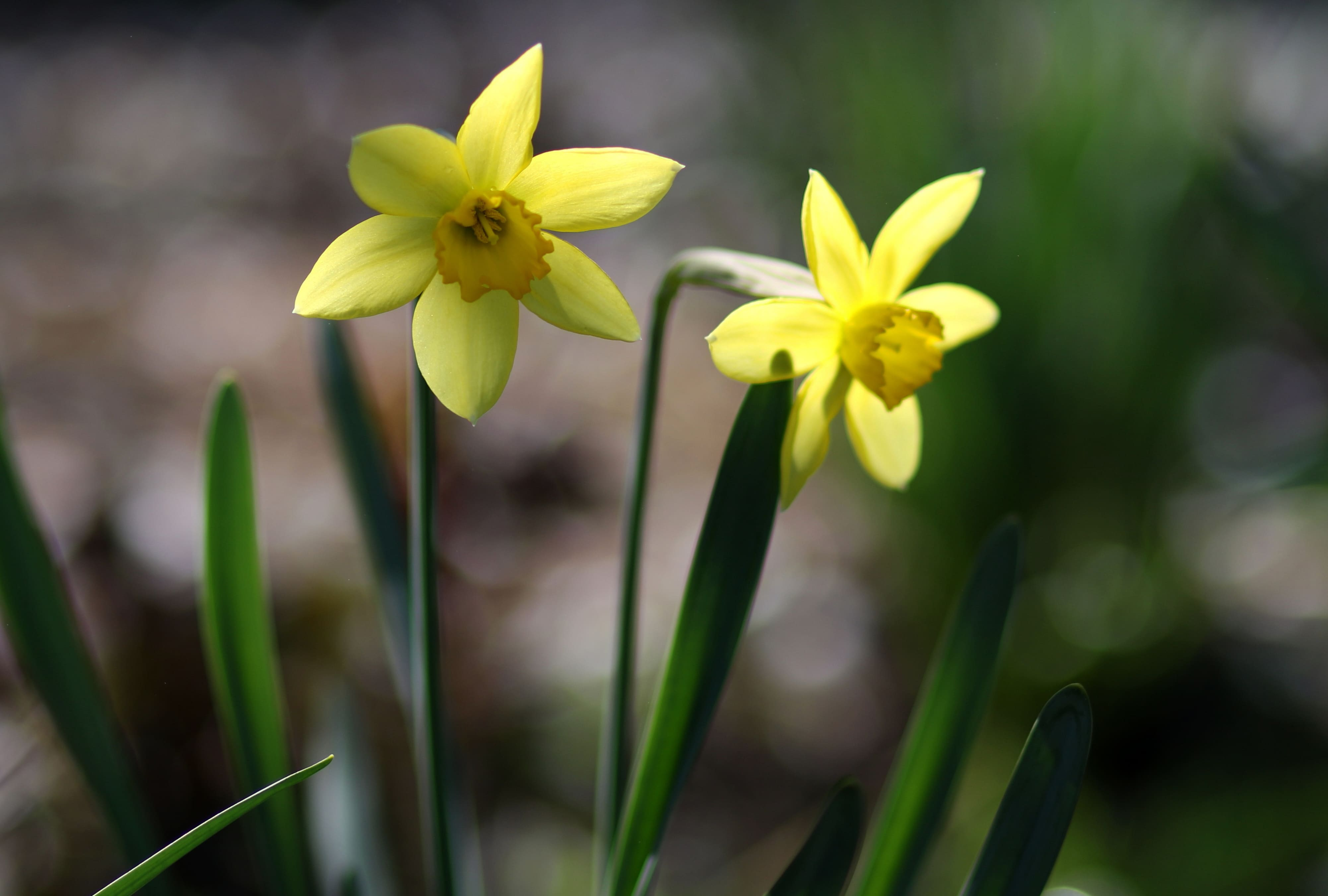 daffodils-photo-70