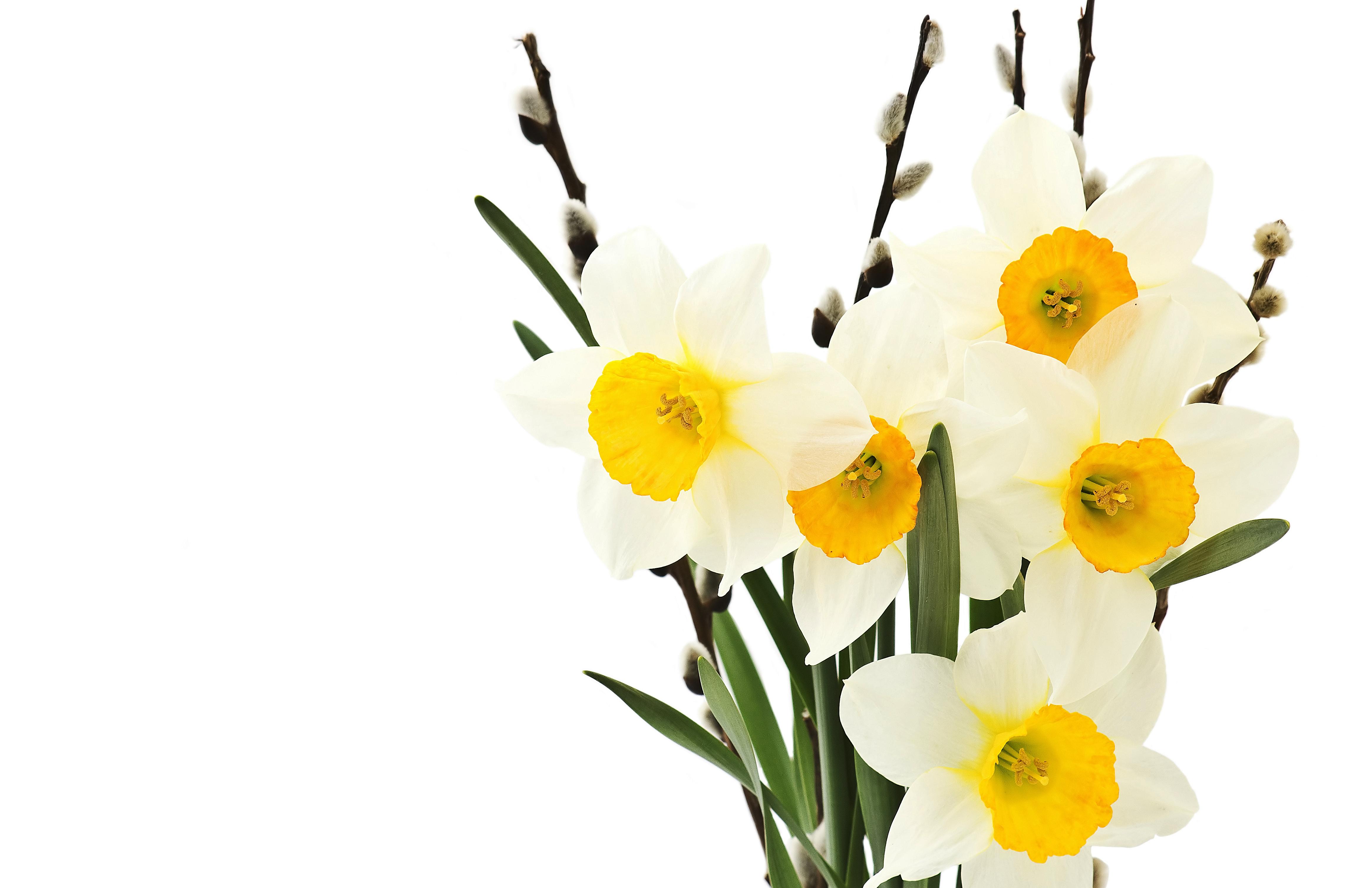 daffodils-photo-71