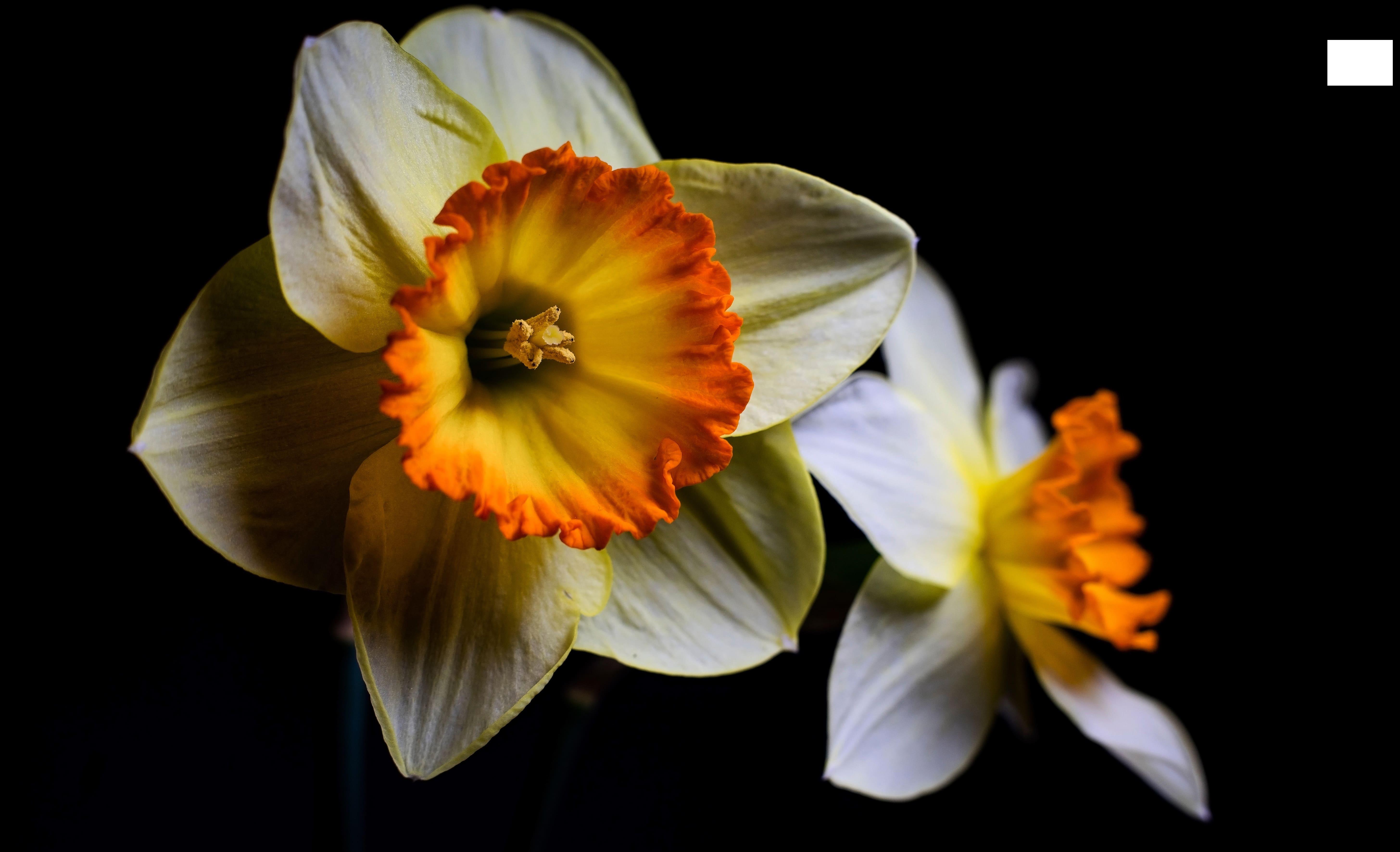 daffodils-photo-72