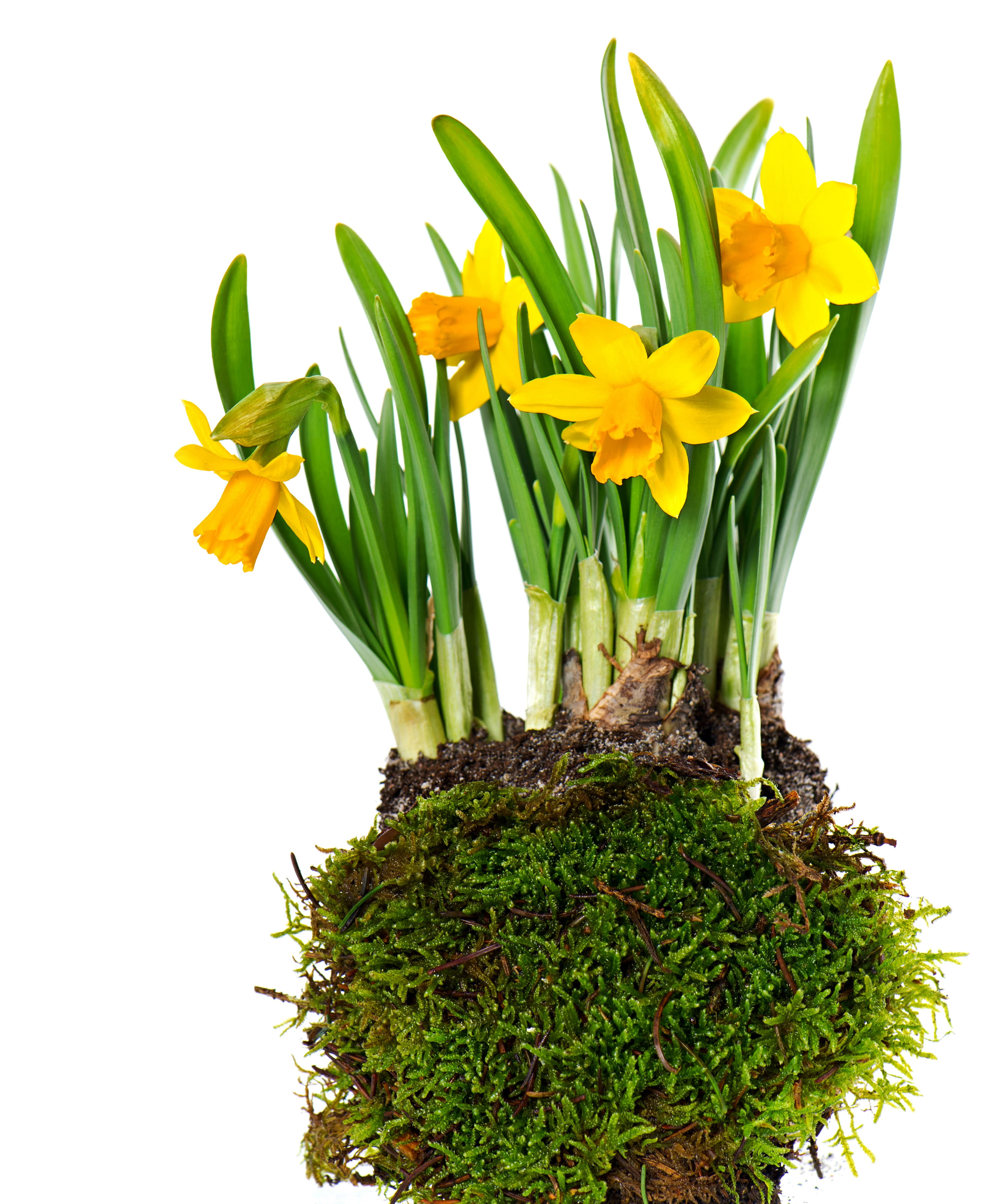 daffodils-photo-74