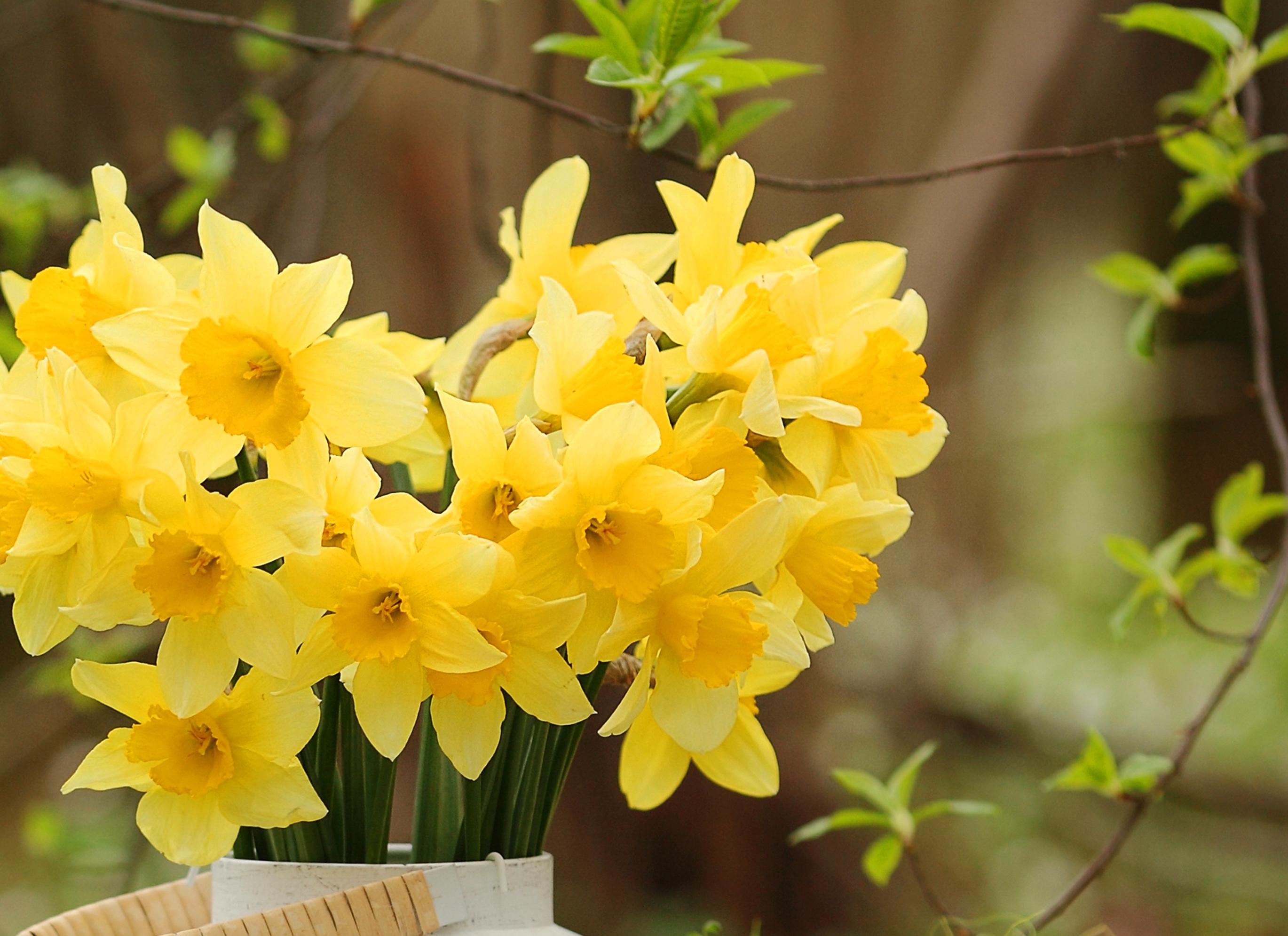 daffodils-photo-75