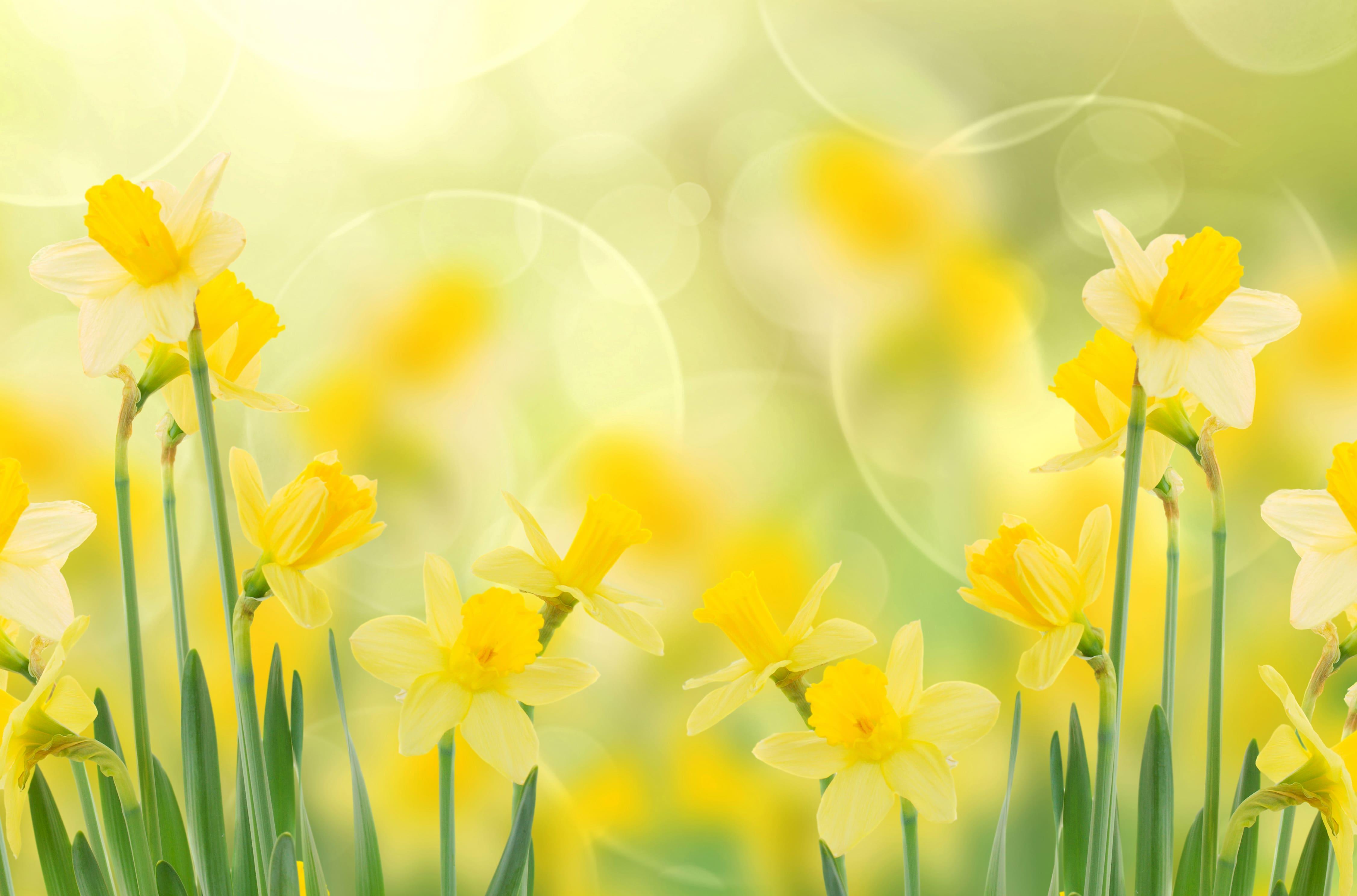 daffodils-photo-76