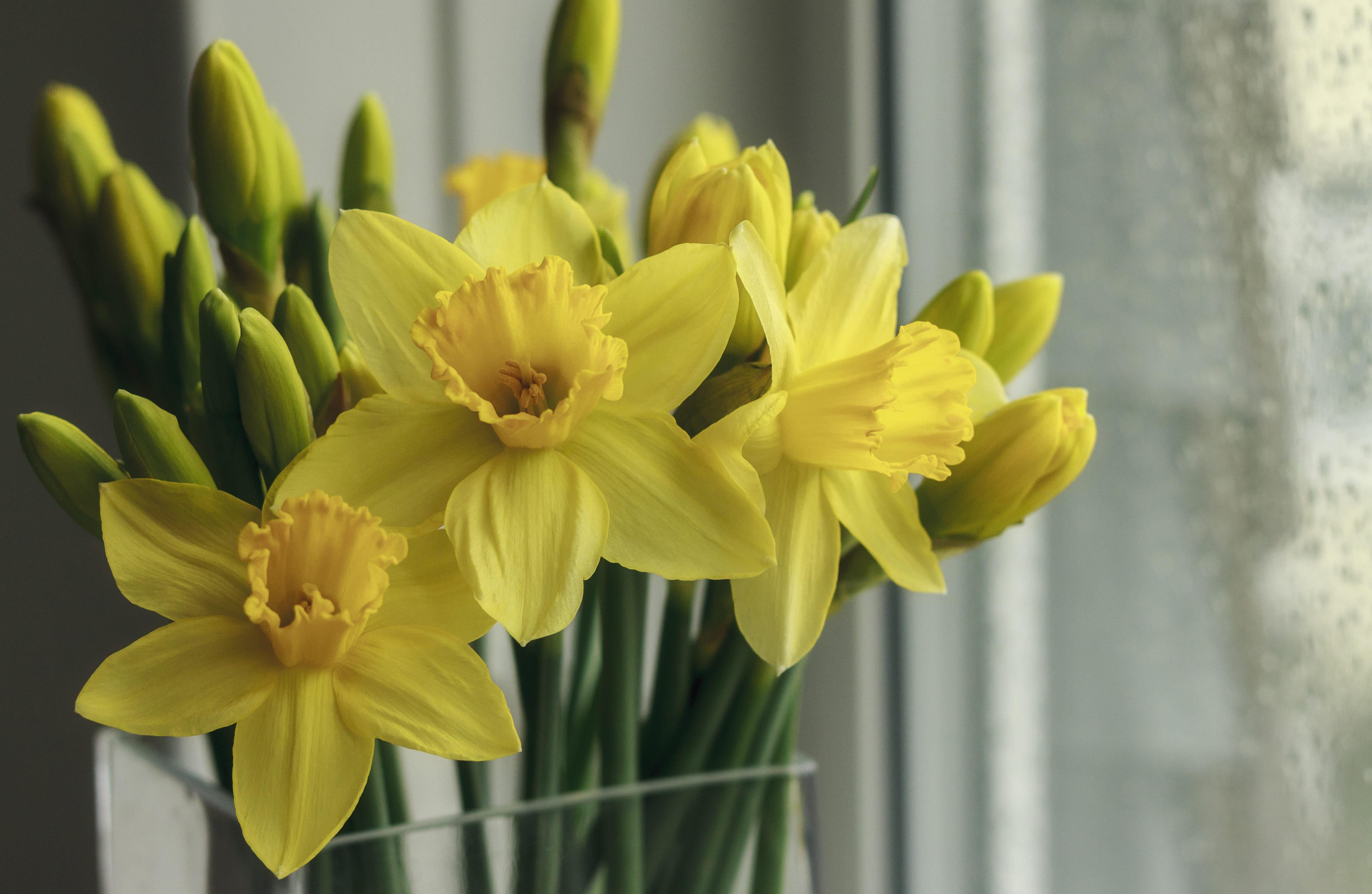 daffodils-photo-77