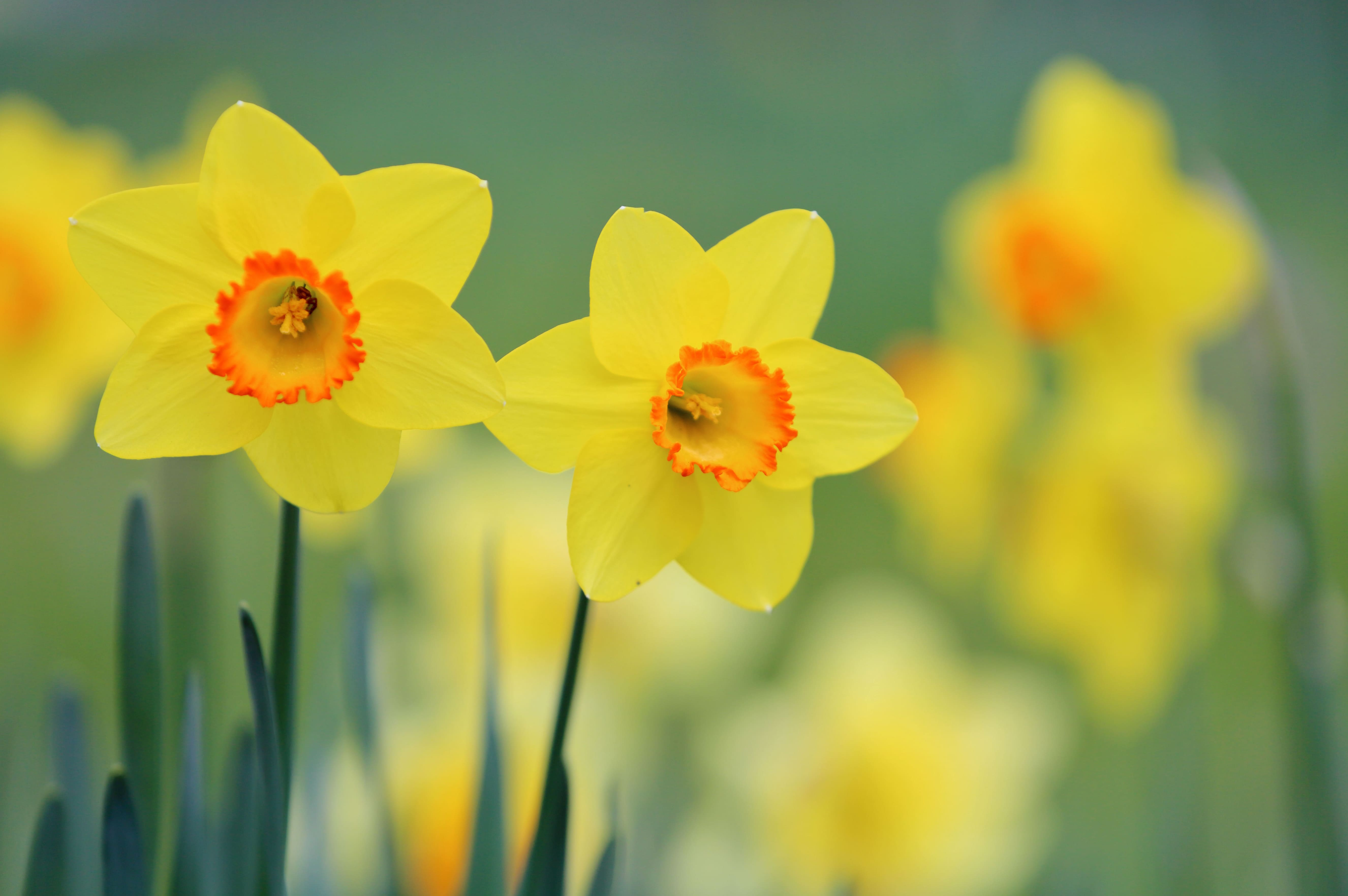 daffodils-photo-78