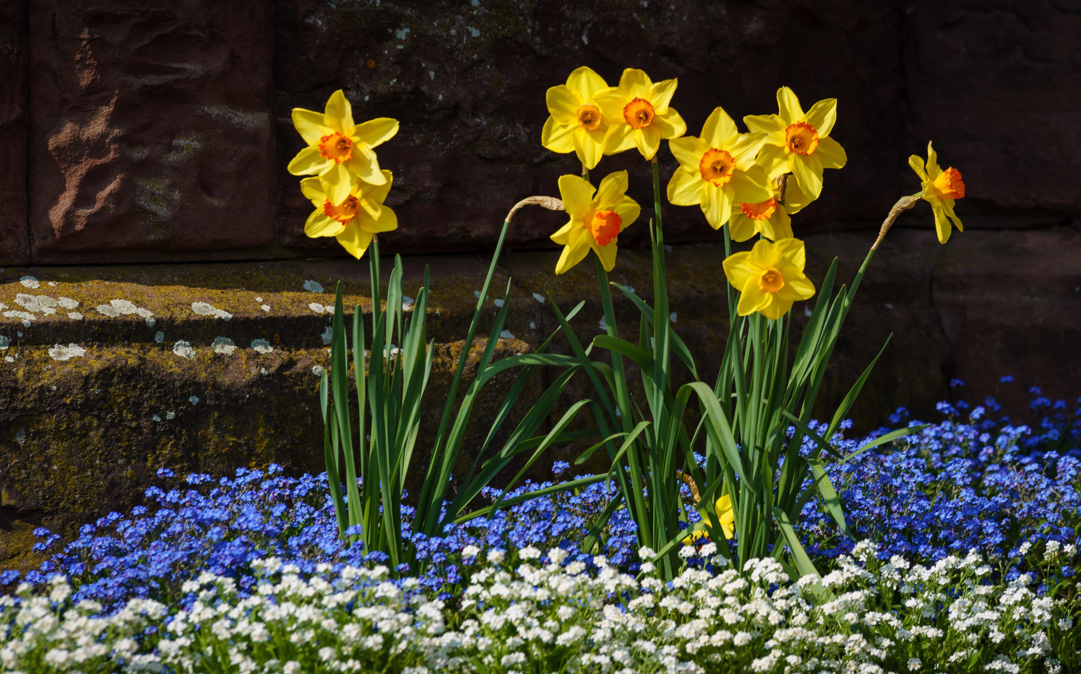 daffodils-photo-79