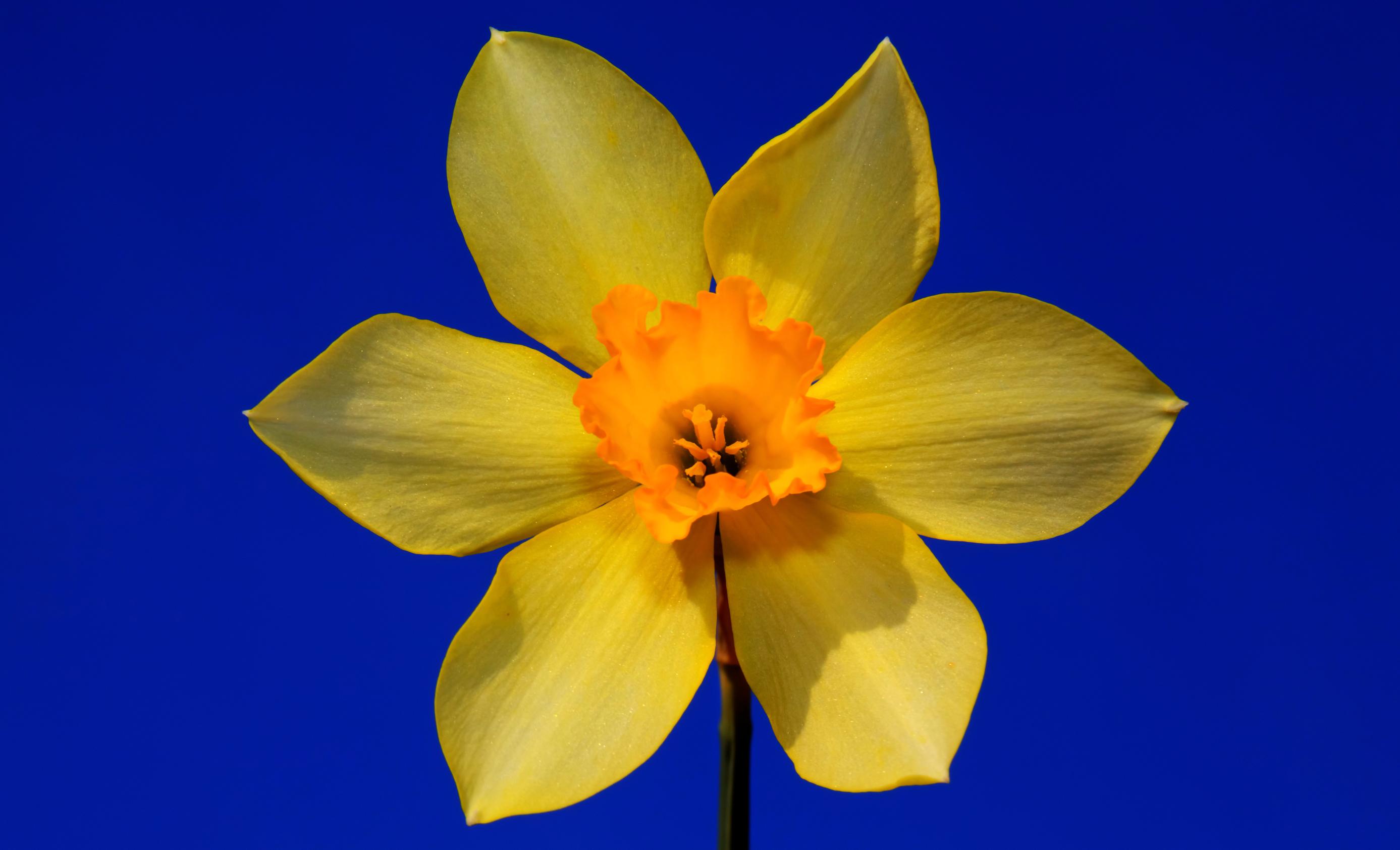 daffodils-photo-80