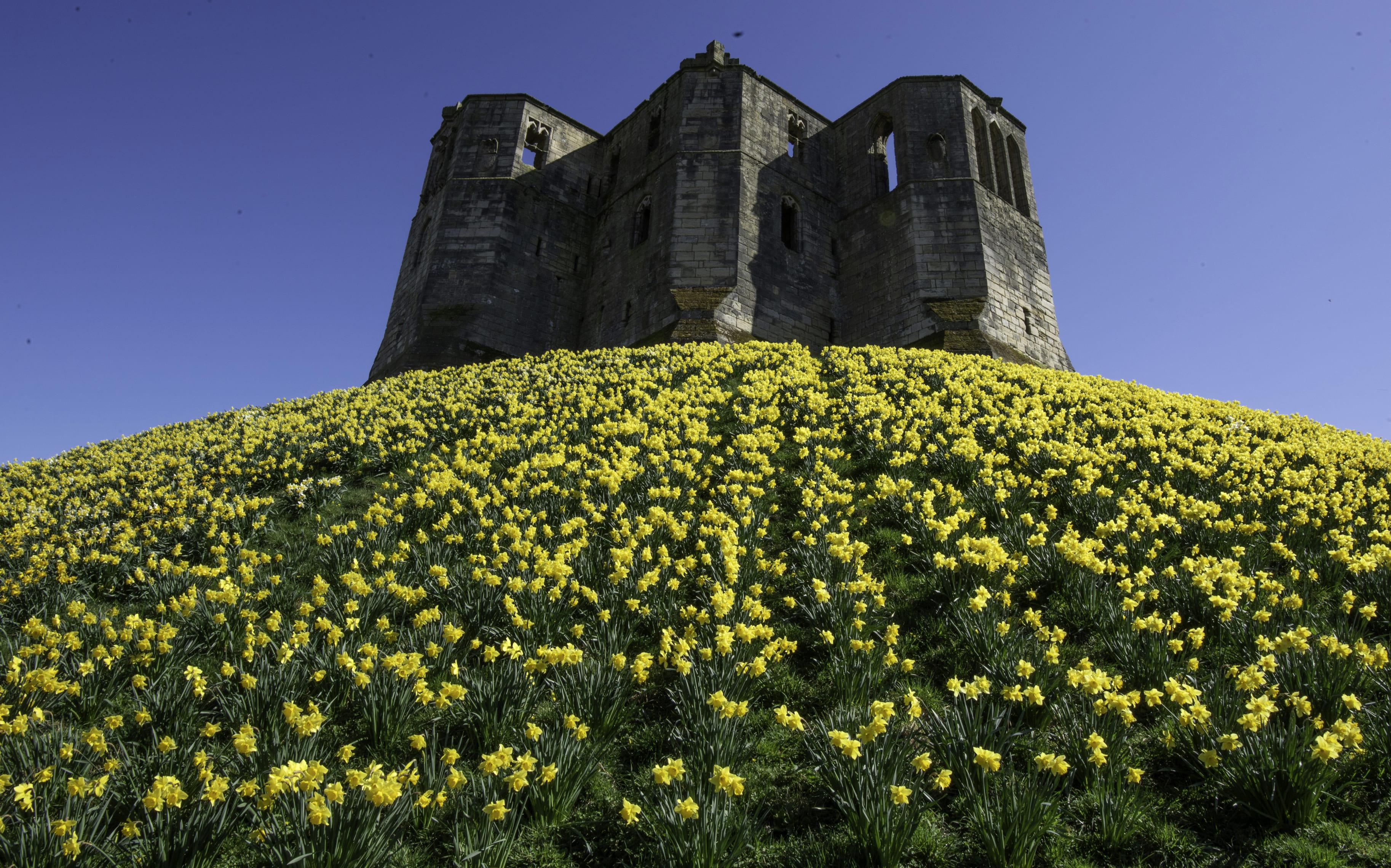 daffodils-photo-82