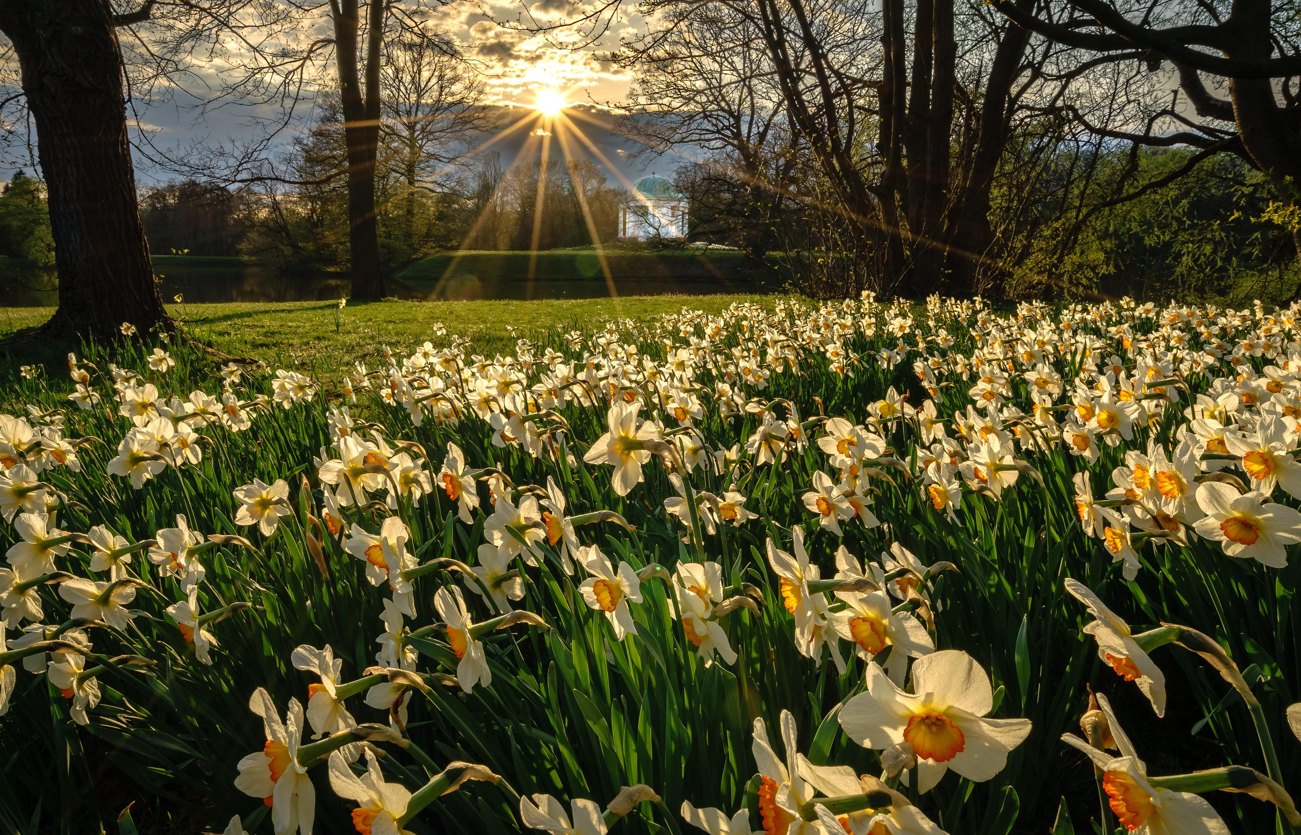 daffodils-photo-84