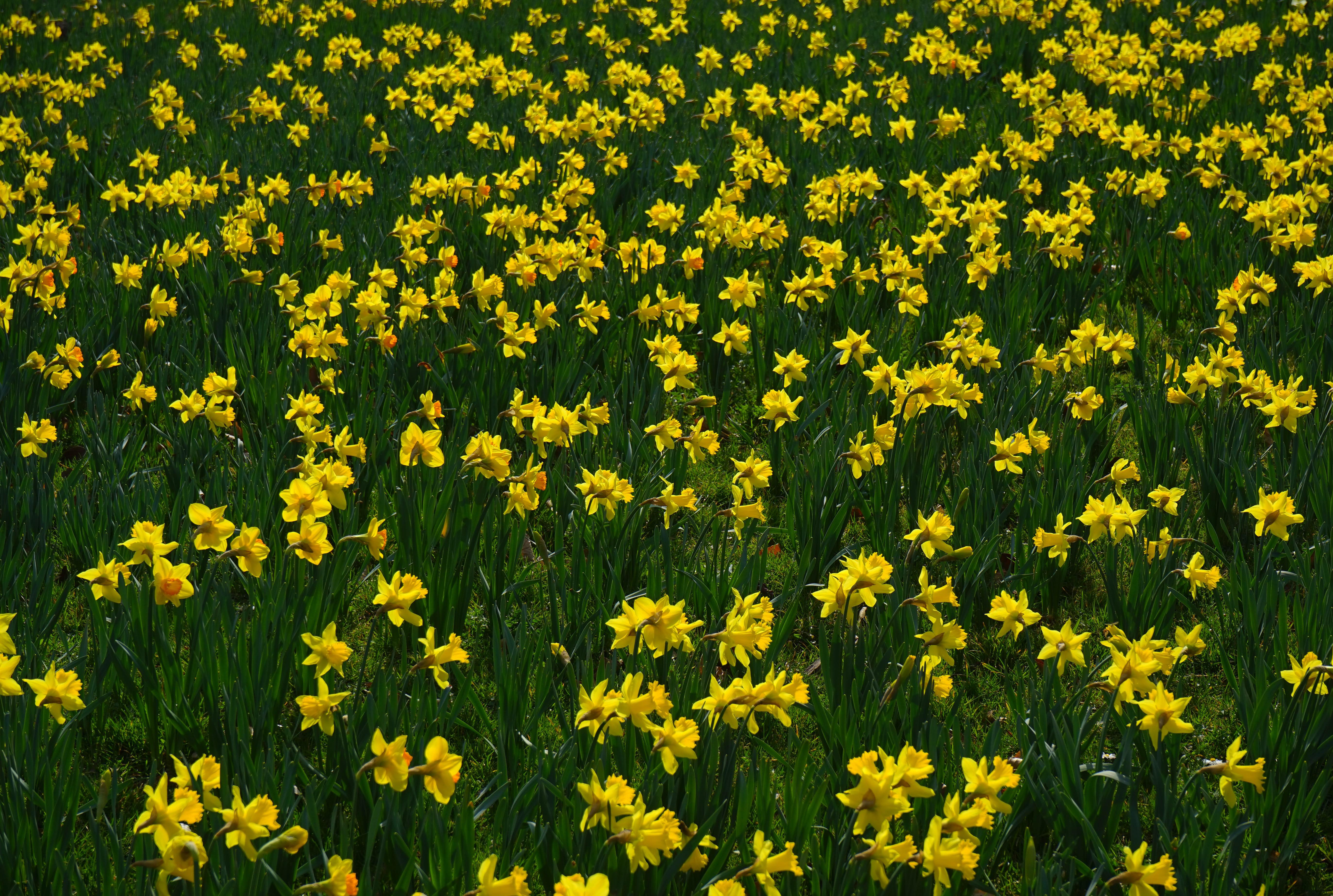 daffodils-photo-85