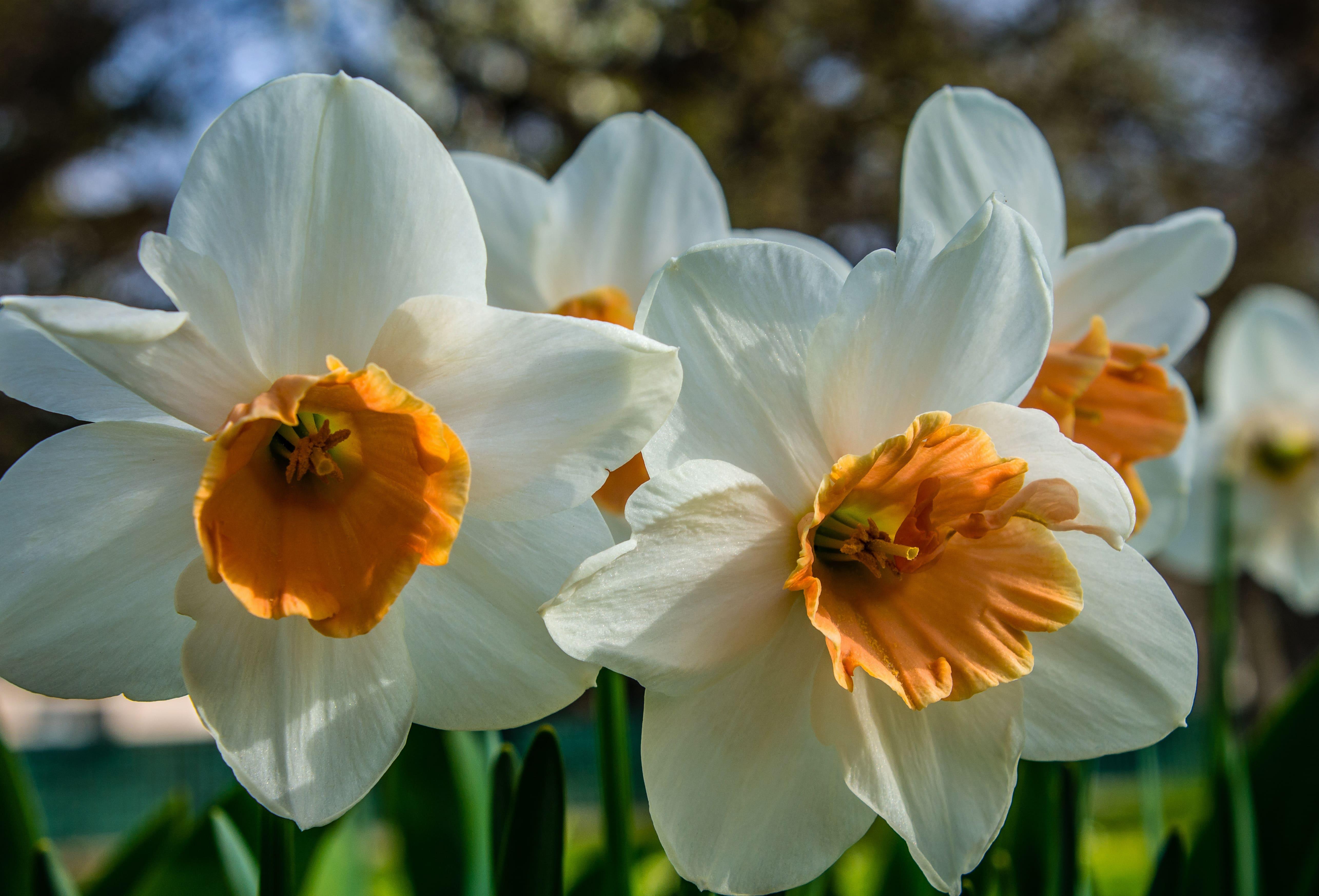daffodils-photo-88