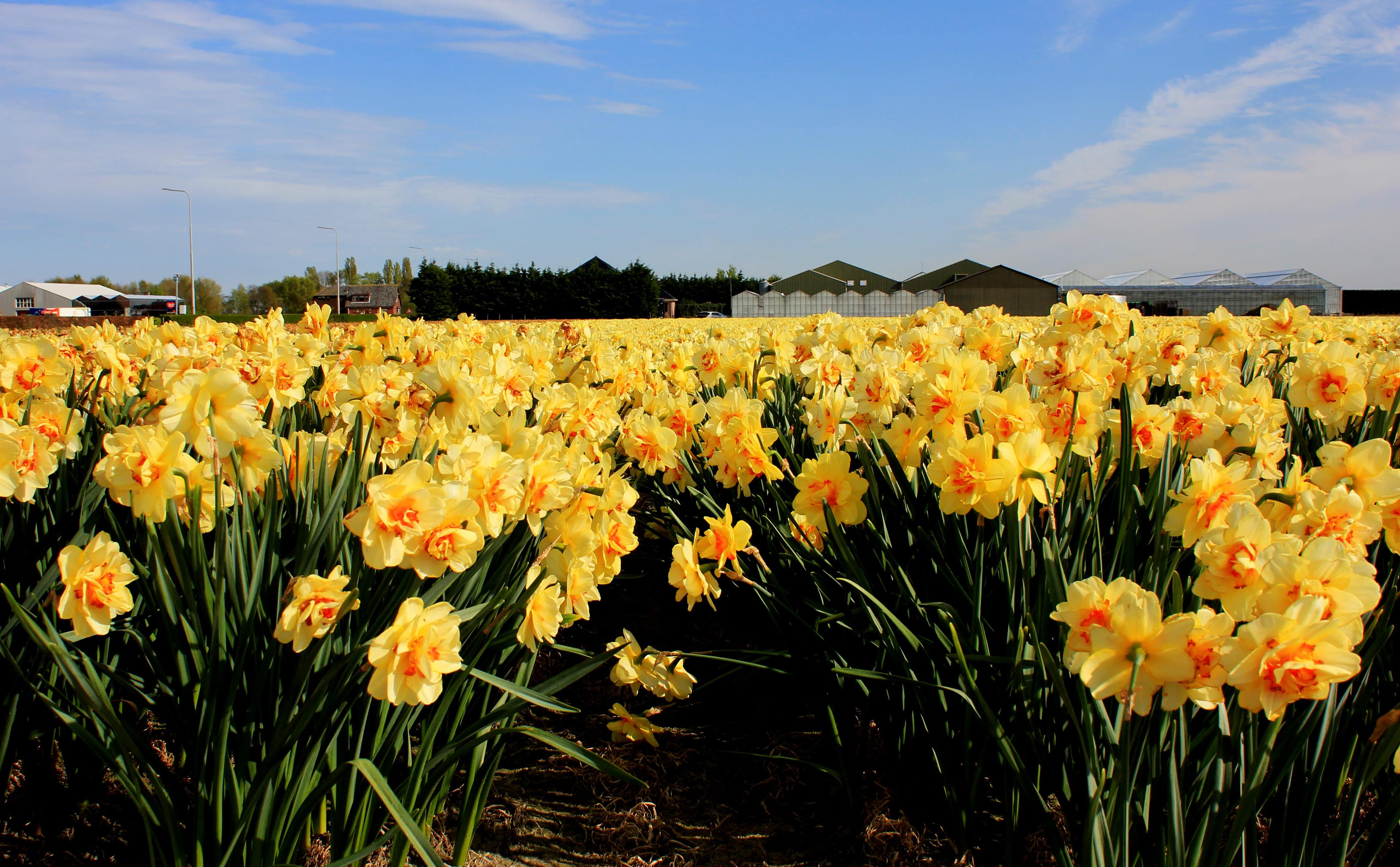 daffodils-photo-91