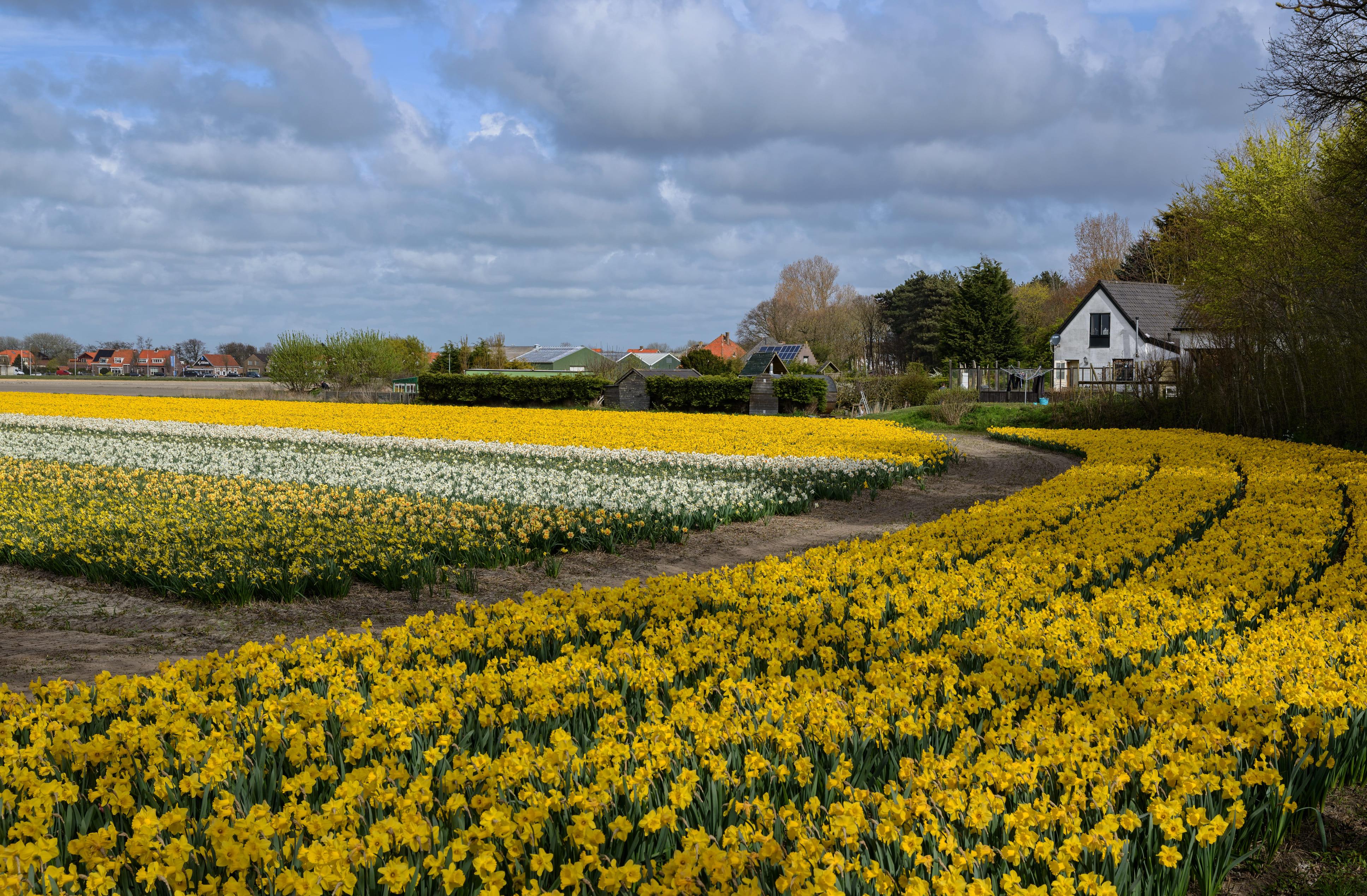 daffodils-photo-93