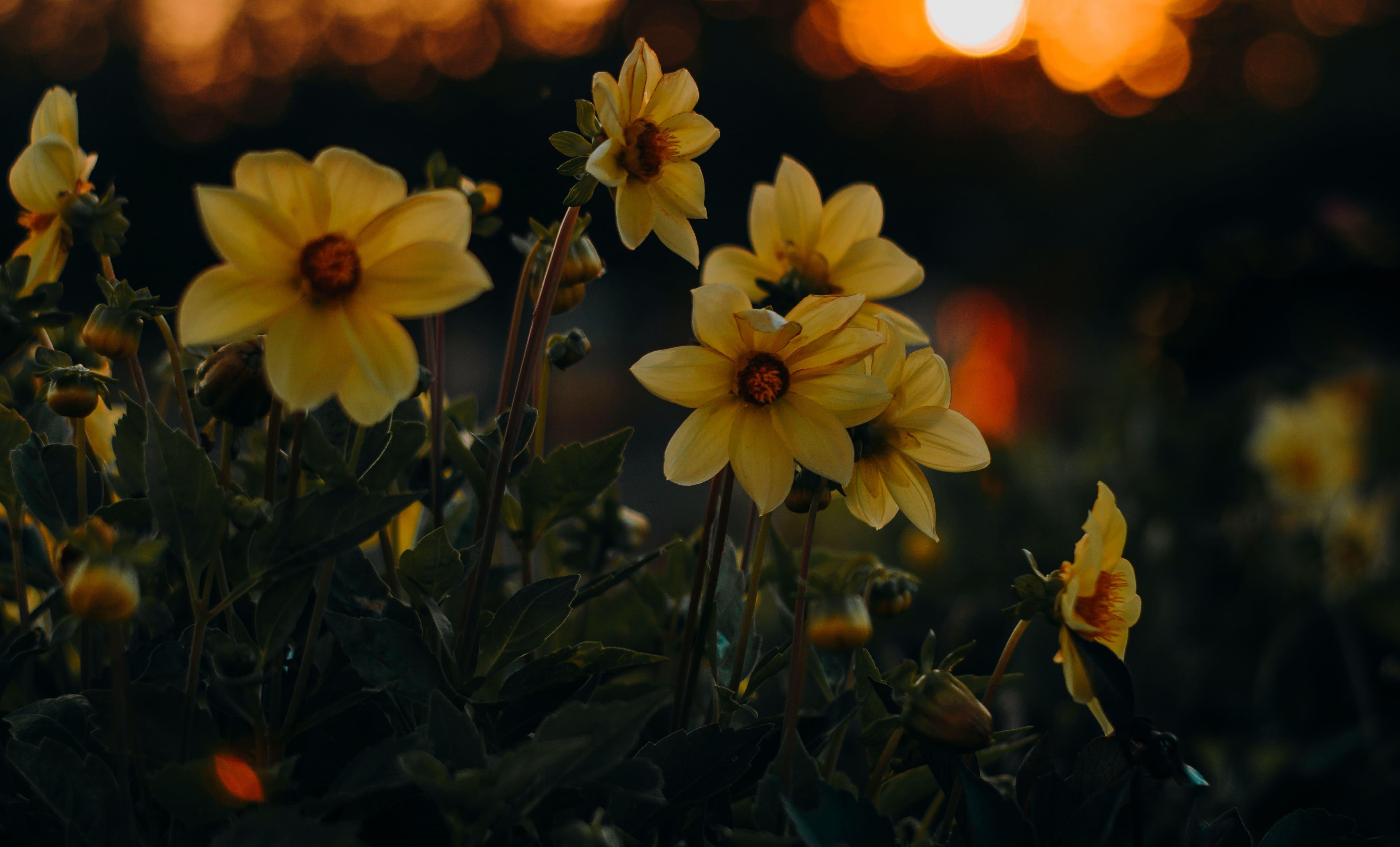 daffodils-photo-94