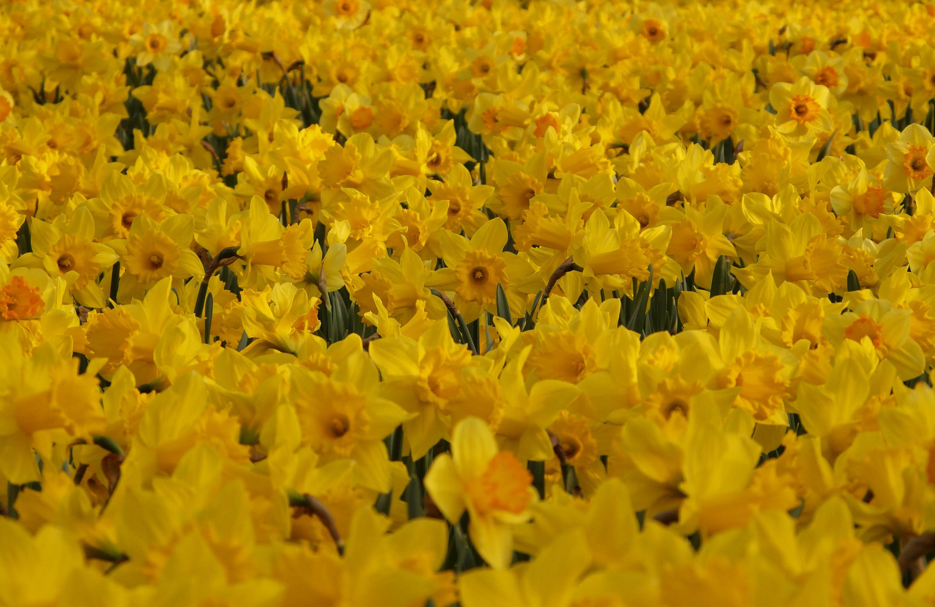 daffodils-photo-95