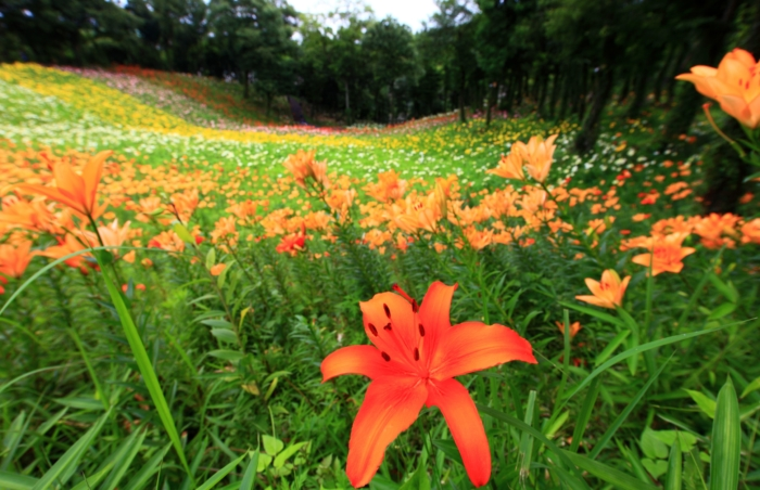 Photos of Beautiful Lilies - 111 Images of Different Types of Lilies
