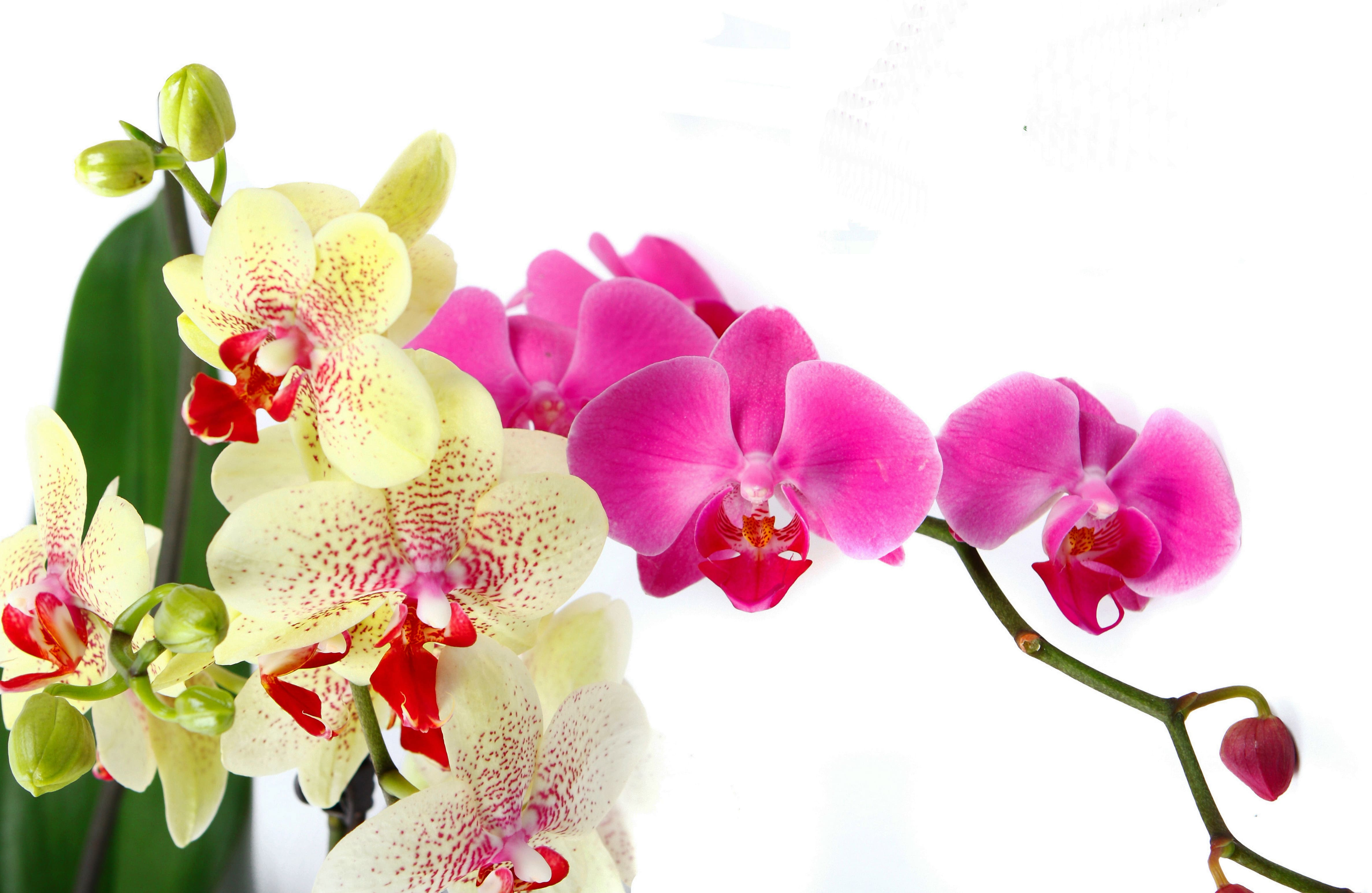 orchid-22