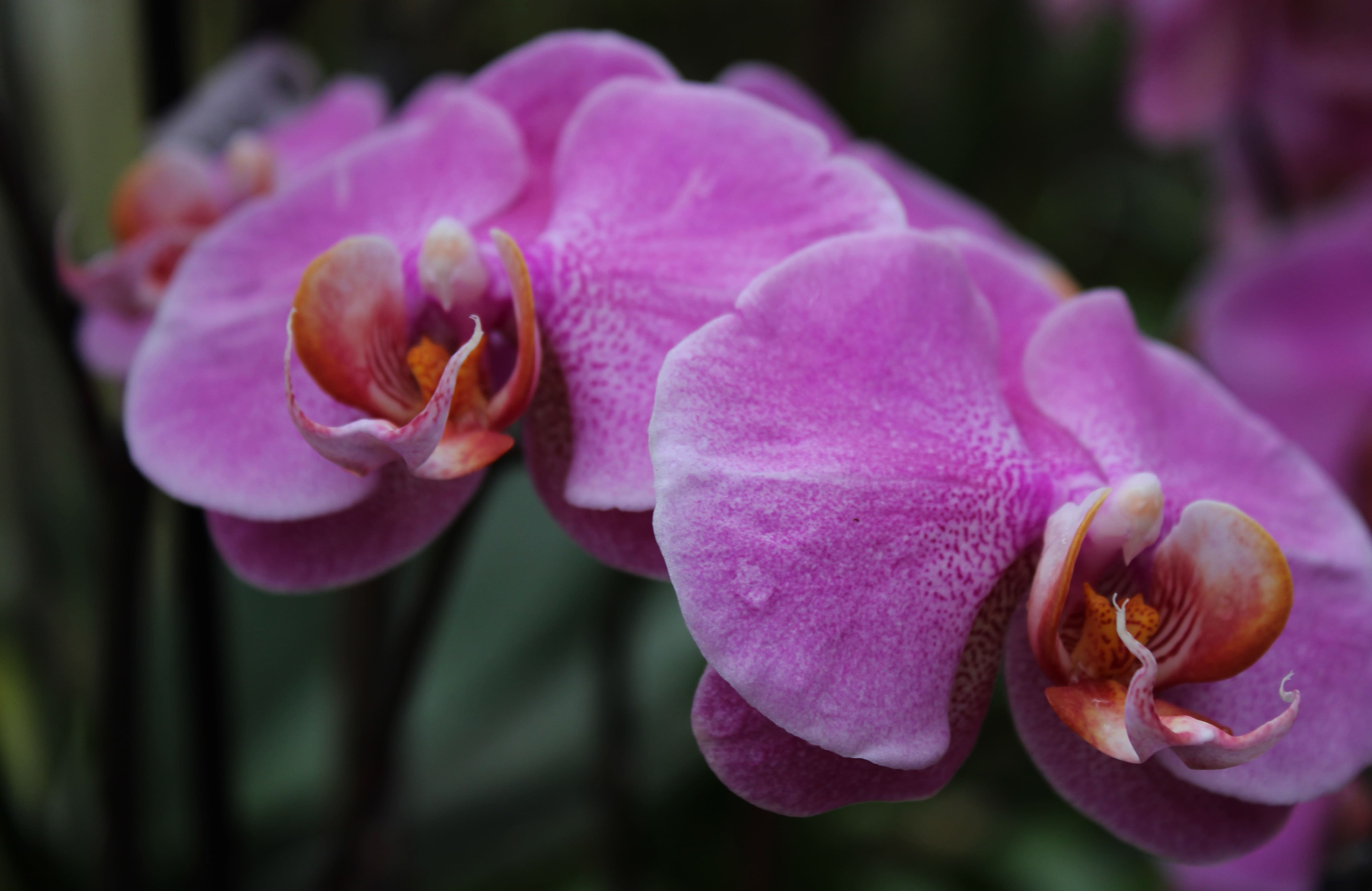 orchid-24