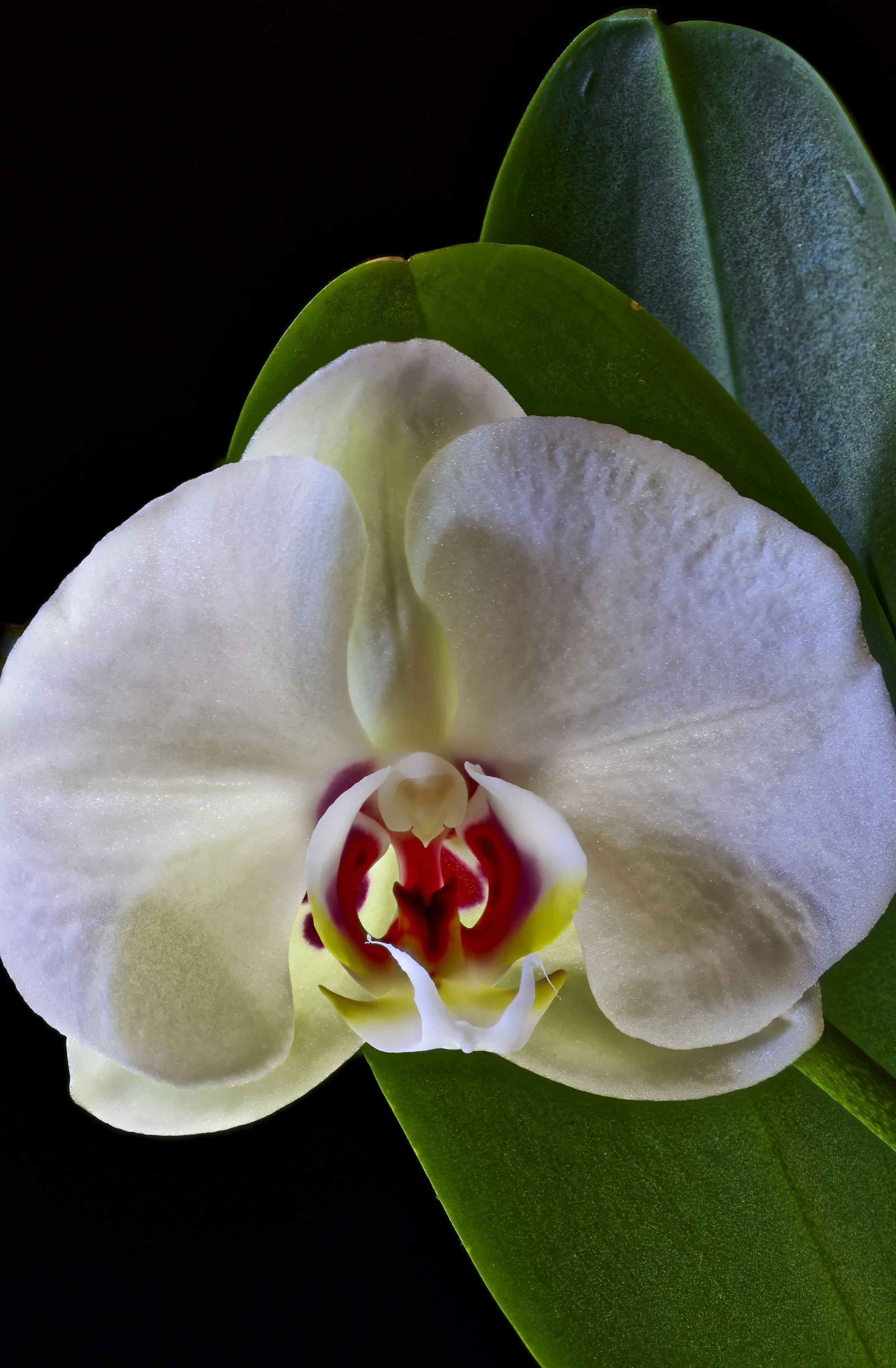 orchid-33