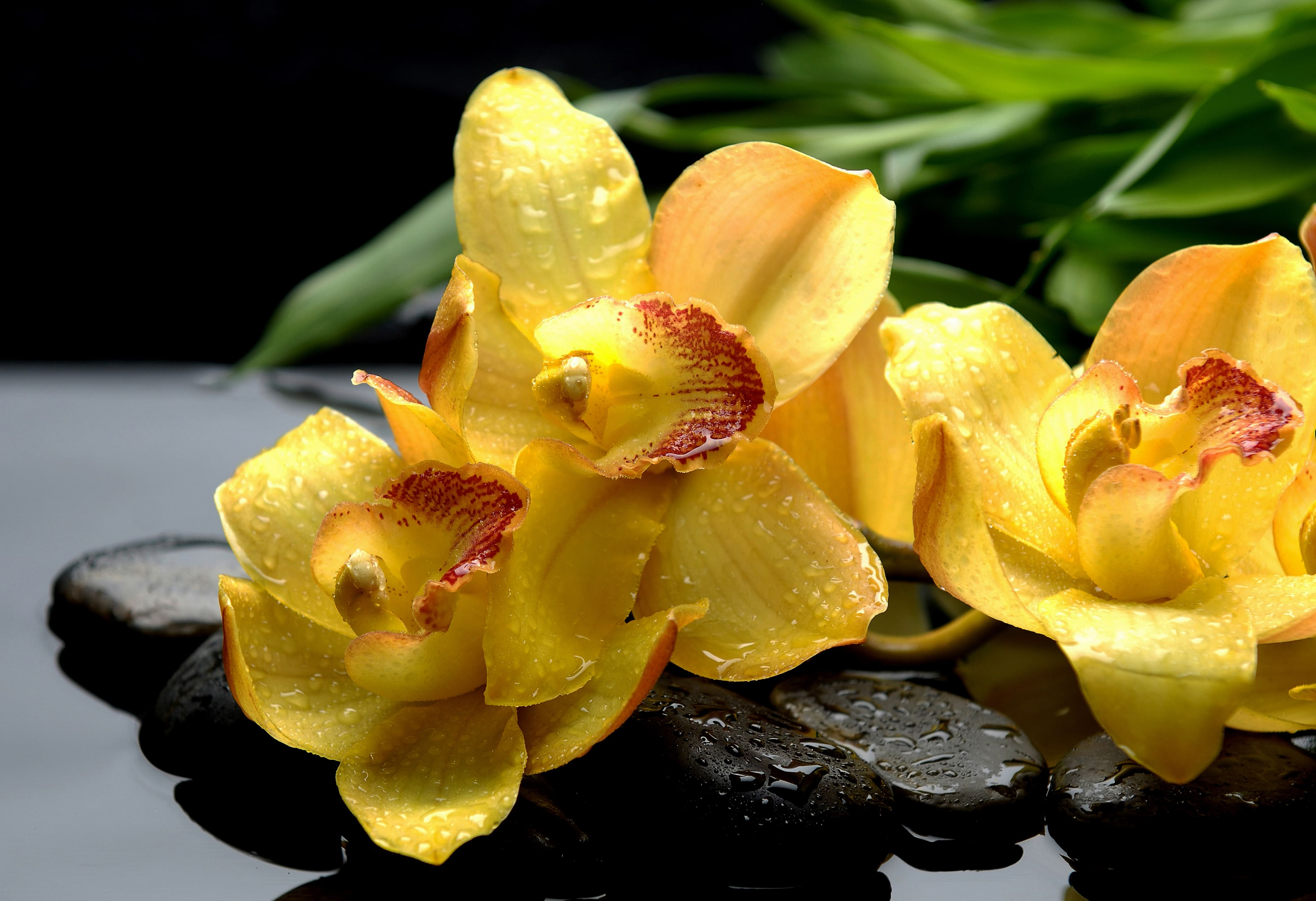 orchid-37