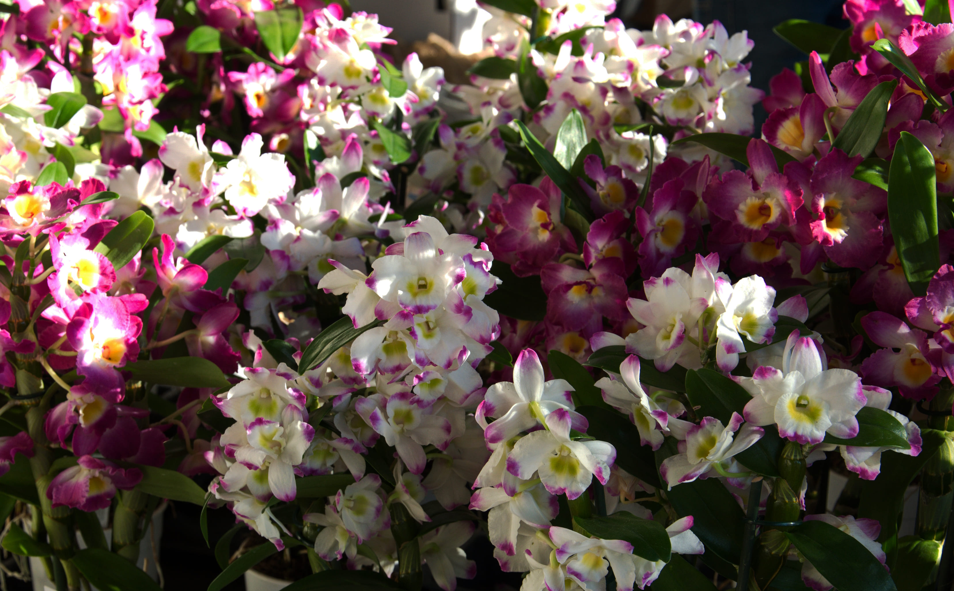 orchid-40