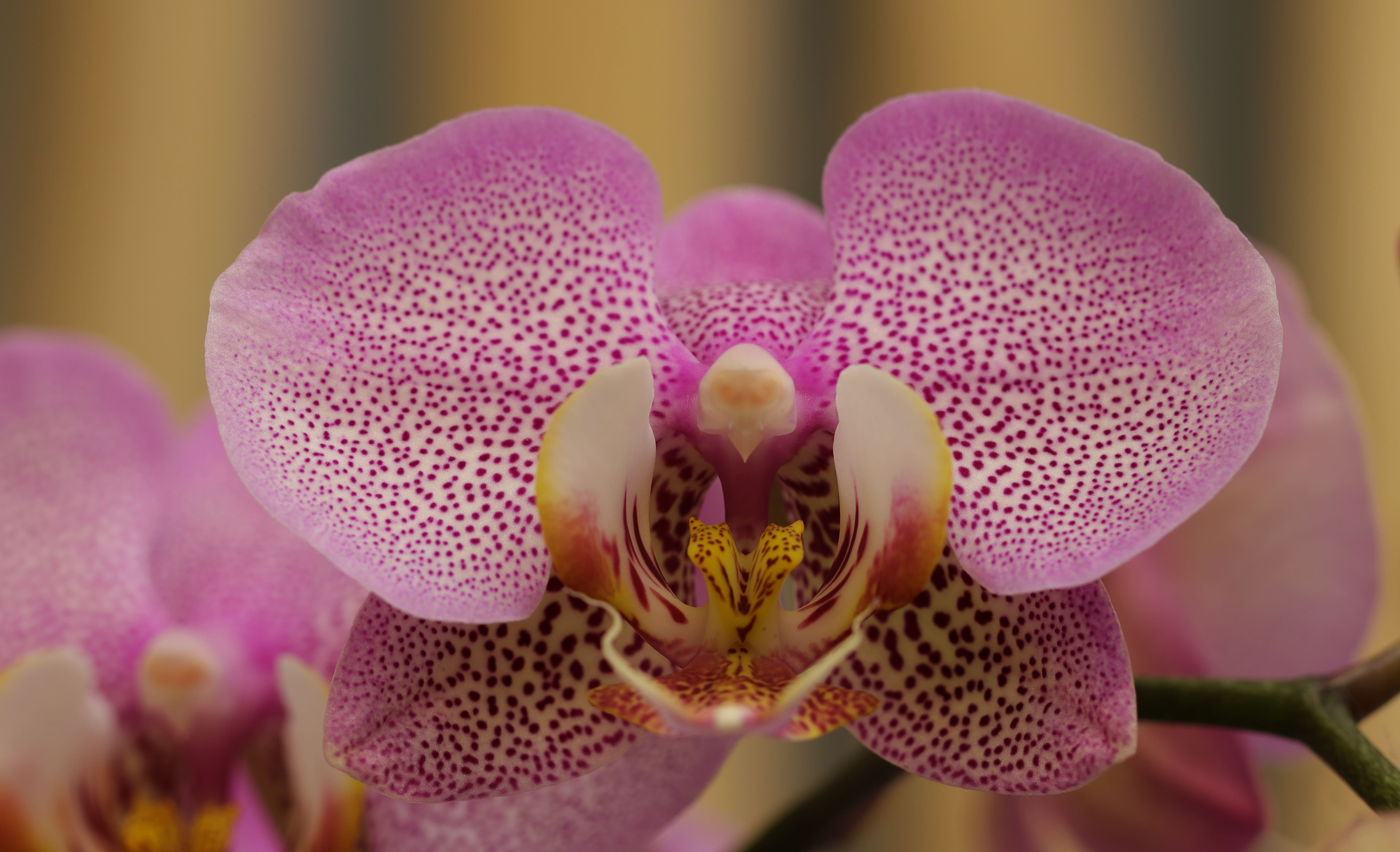 orchid-41