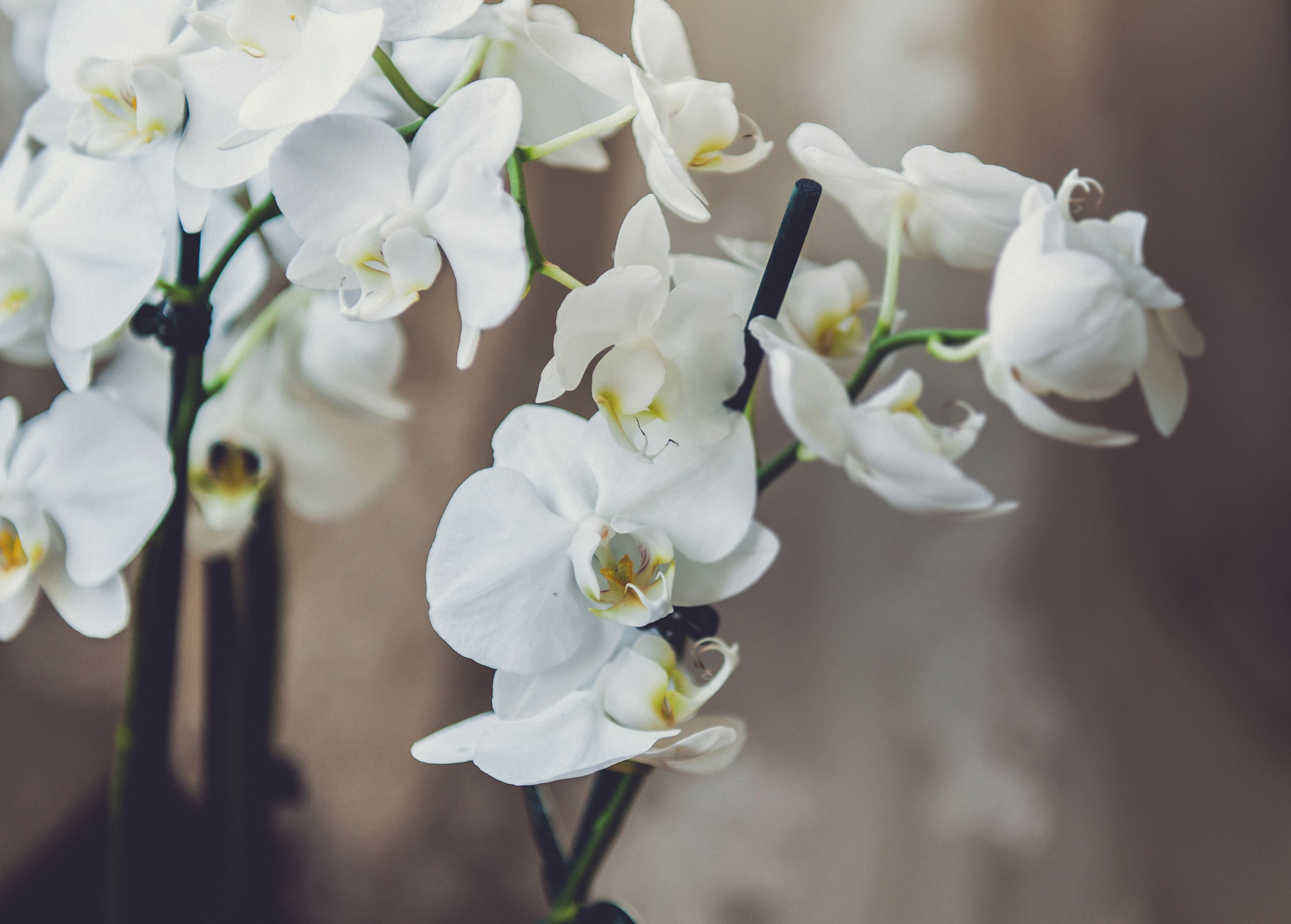 orchid-50