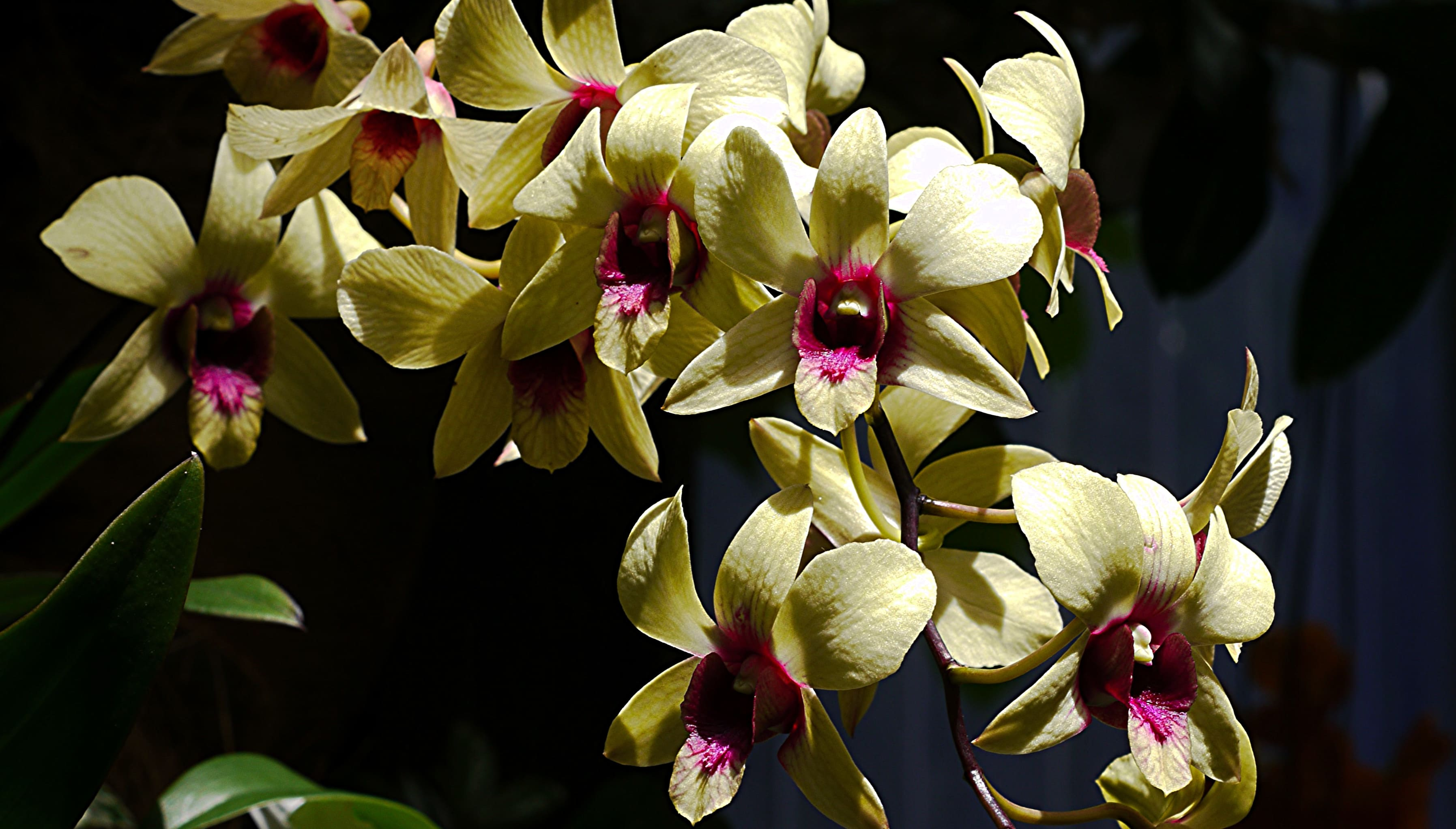 orchid-56